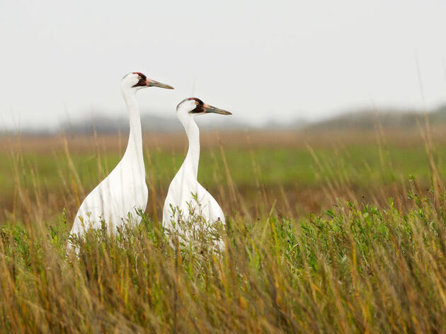 Climate Change Has Whooping Cranes Starting Their Spring Migration Earlier