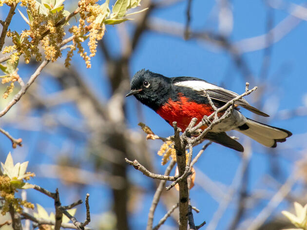 Climate Change Threatens Arizona's Forest Birds