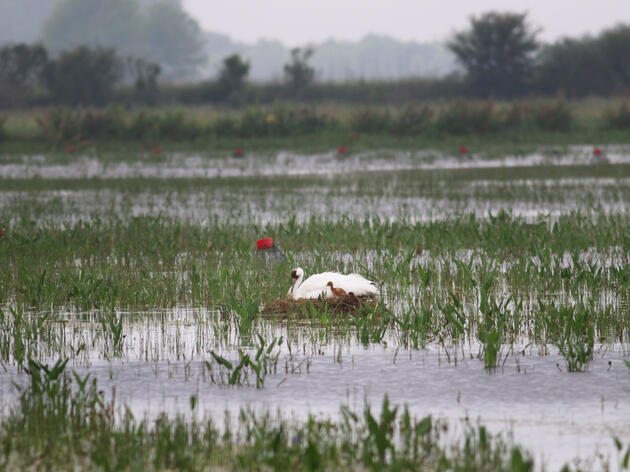 First Wild Whooping Crane Hatches In Louisiana Since WWII