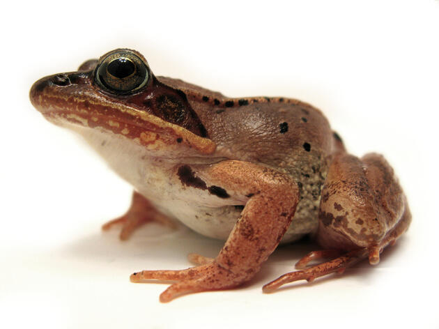 Frogs Freeze to Survive the Alaskan Winter