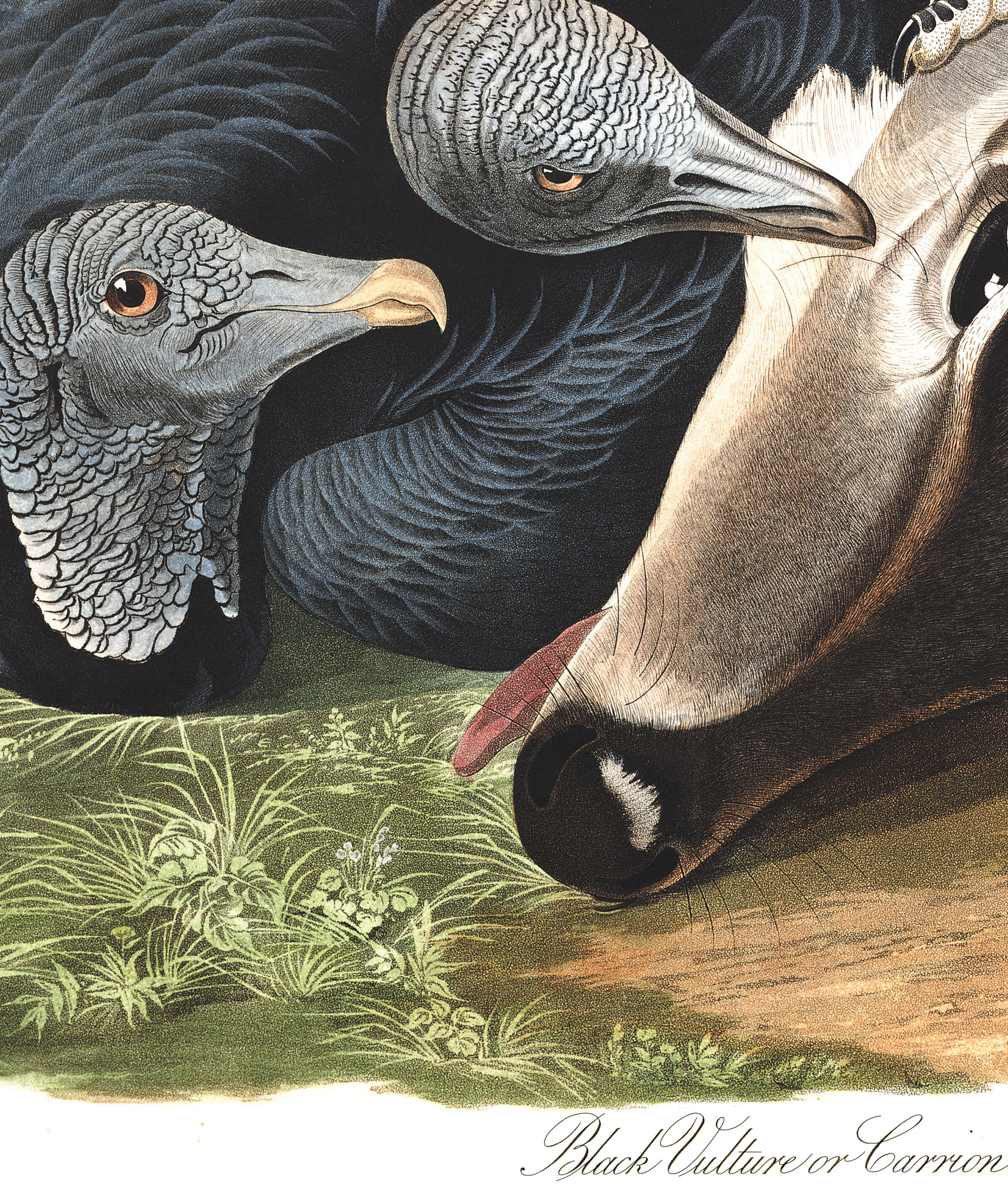 Black Vulture, or Carrion Crow | John James Audubon's Birds
