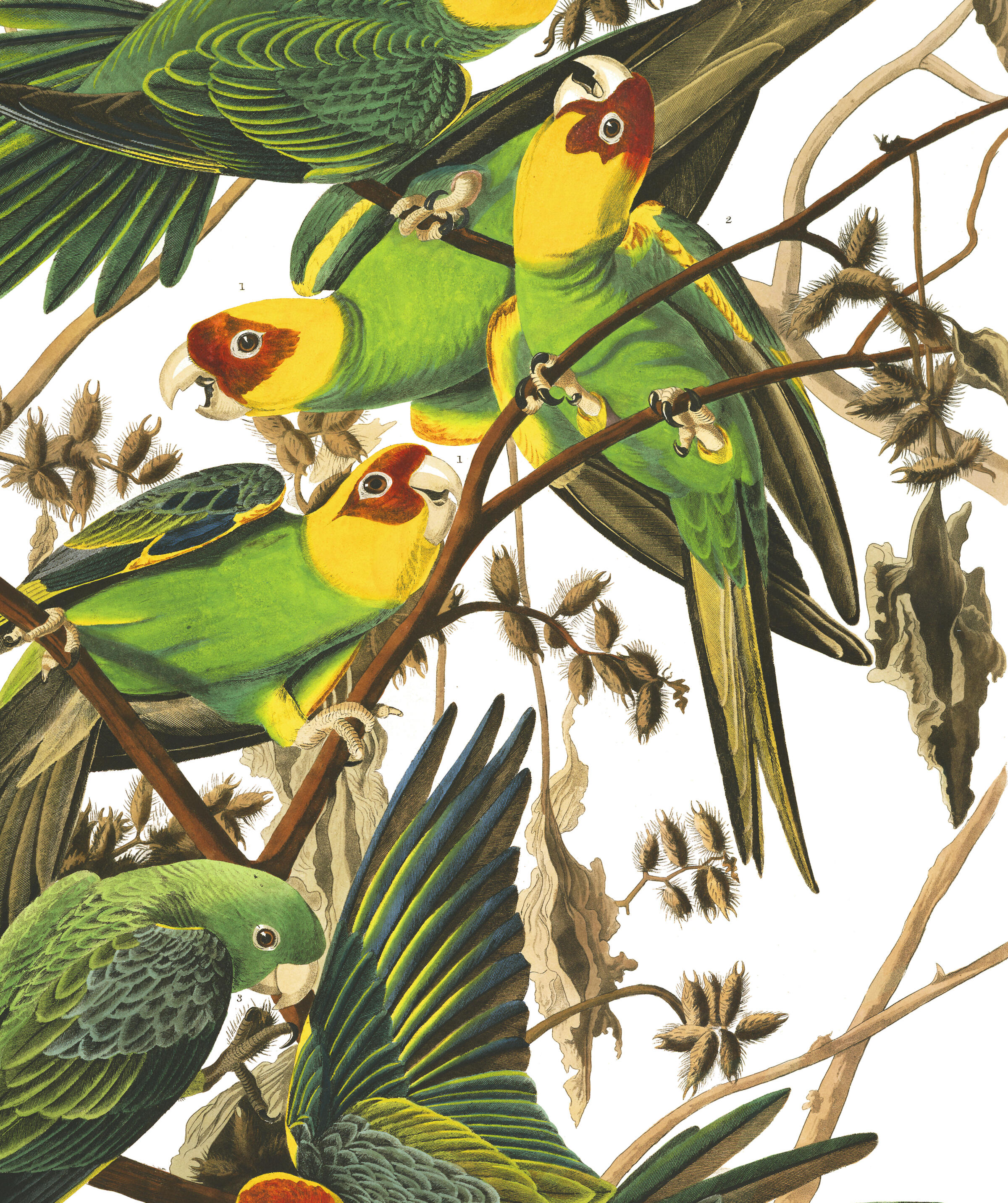 Carolina Parrot | John James Audubon's Birds of America