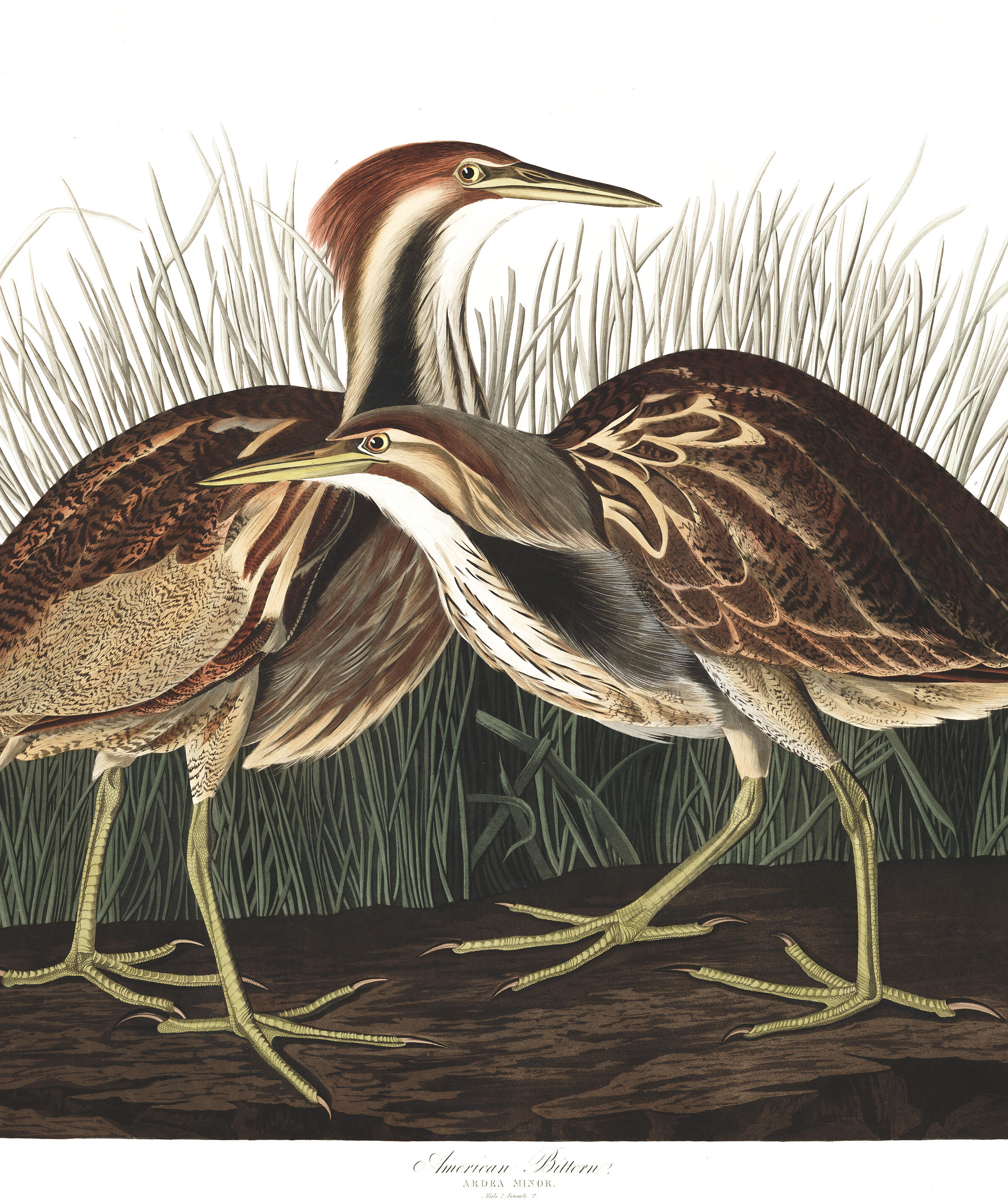 American Bittern | John James Audubon's Birds of America