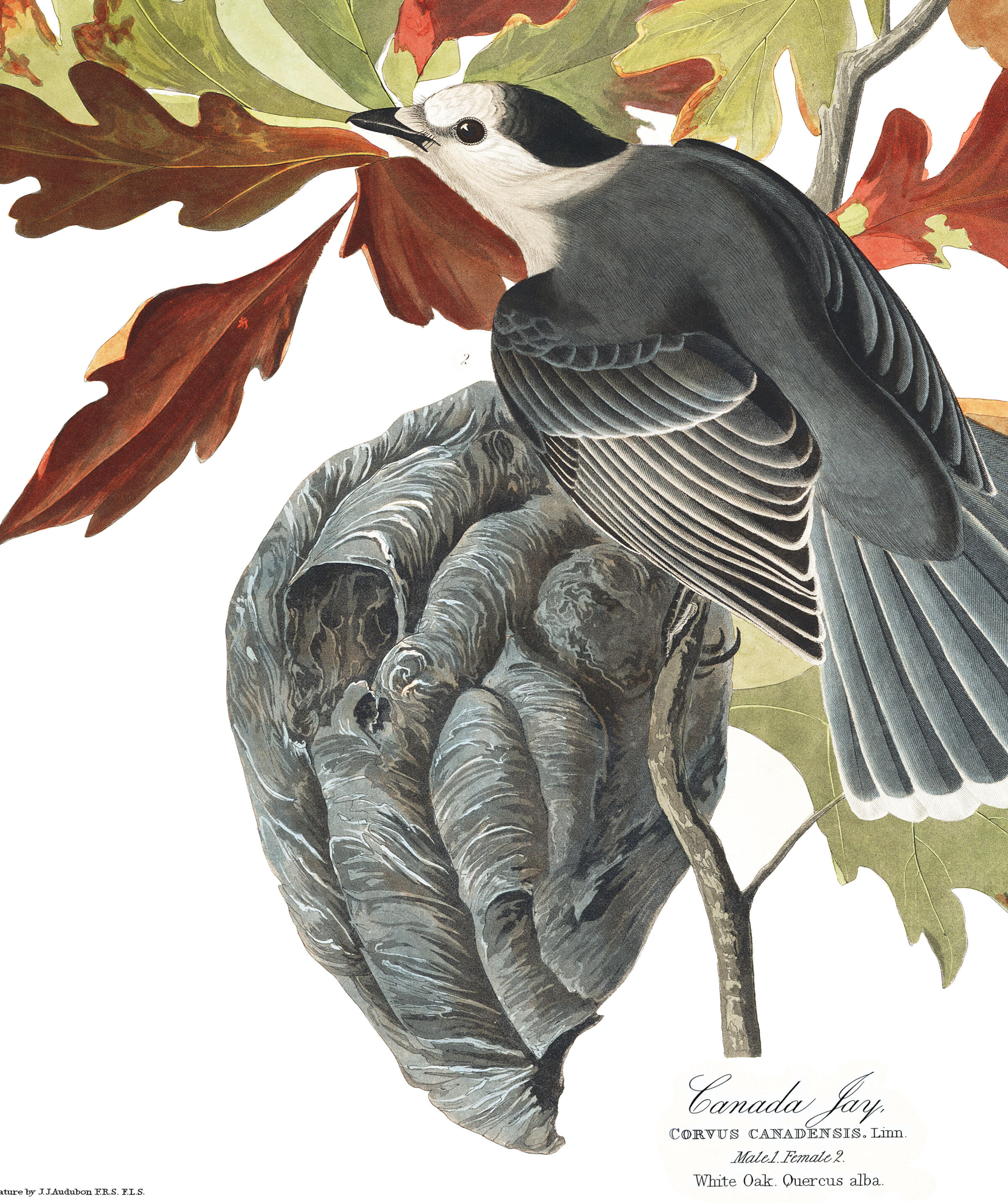 Canada Jay | John James Audubon's Birds of America