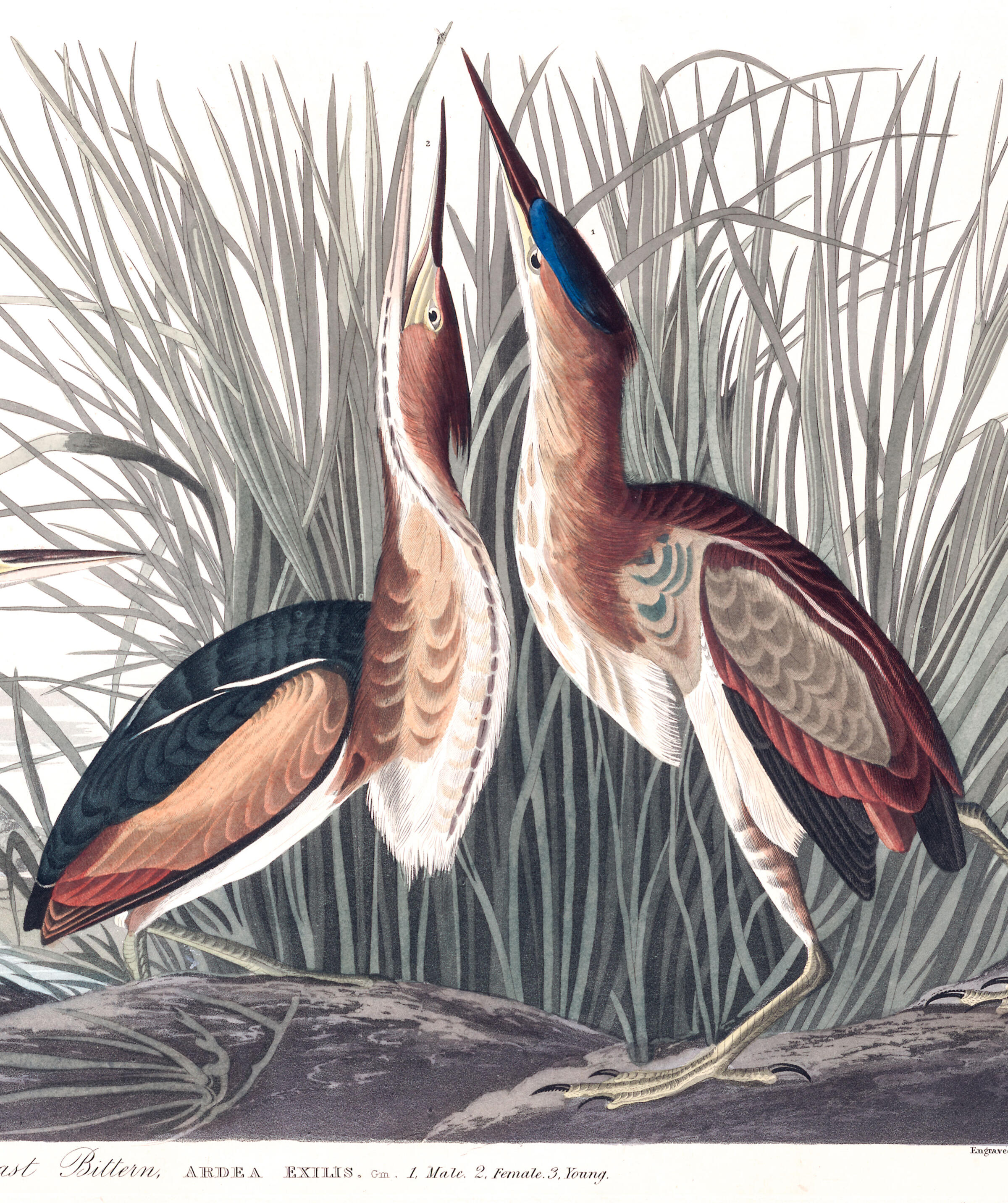 Least Bittern | John James Audubon's Birds of America