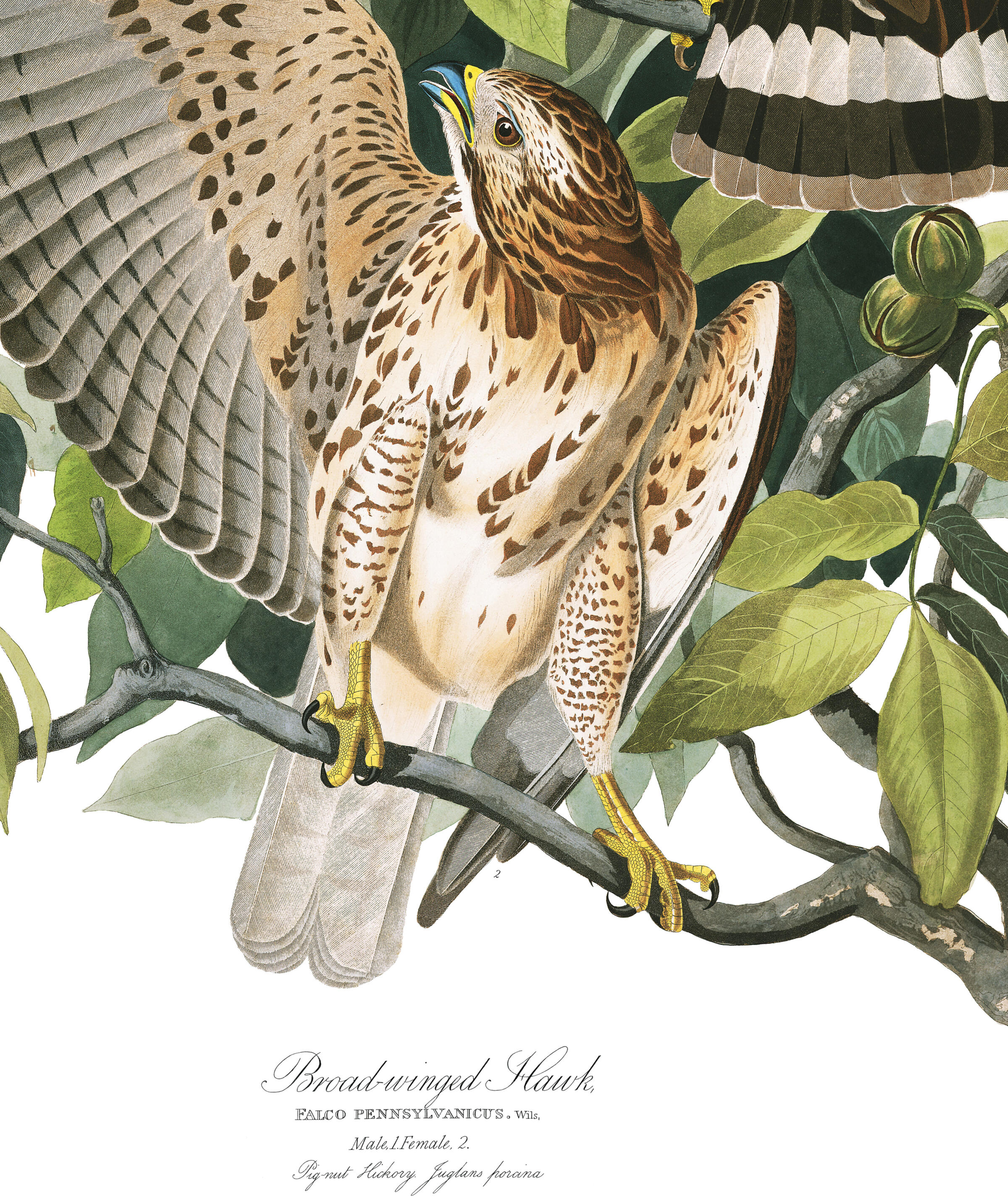 Broad-winged Hawk | John James Audubon's Birds of America