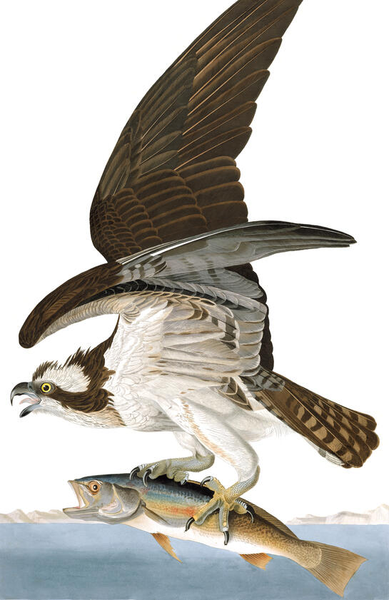 Fish Hawk - Osprey