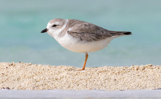Piping Plover. Camilla Cerea/Audubon