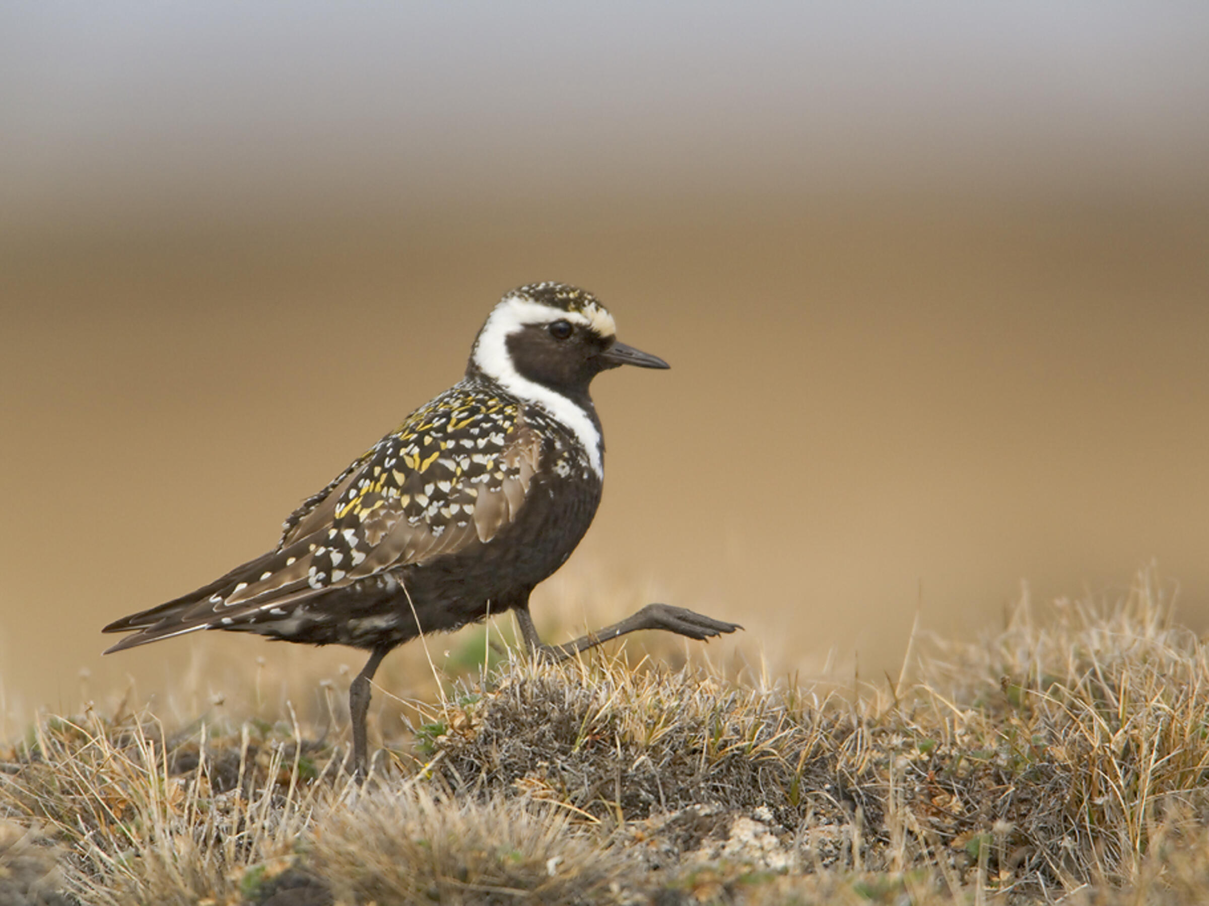 American Golden-Plover. Photo: Milo Burcham