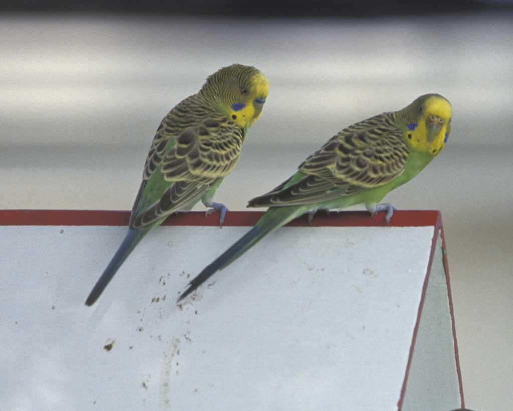 Budgerigar | Audubon Field Guide