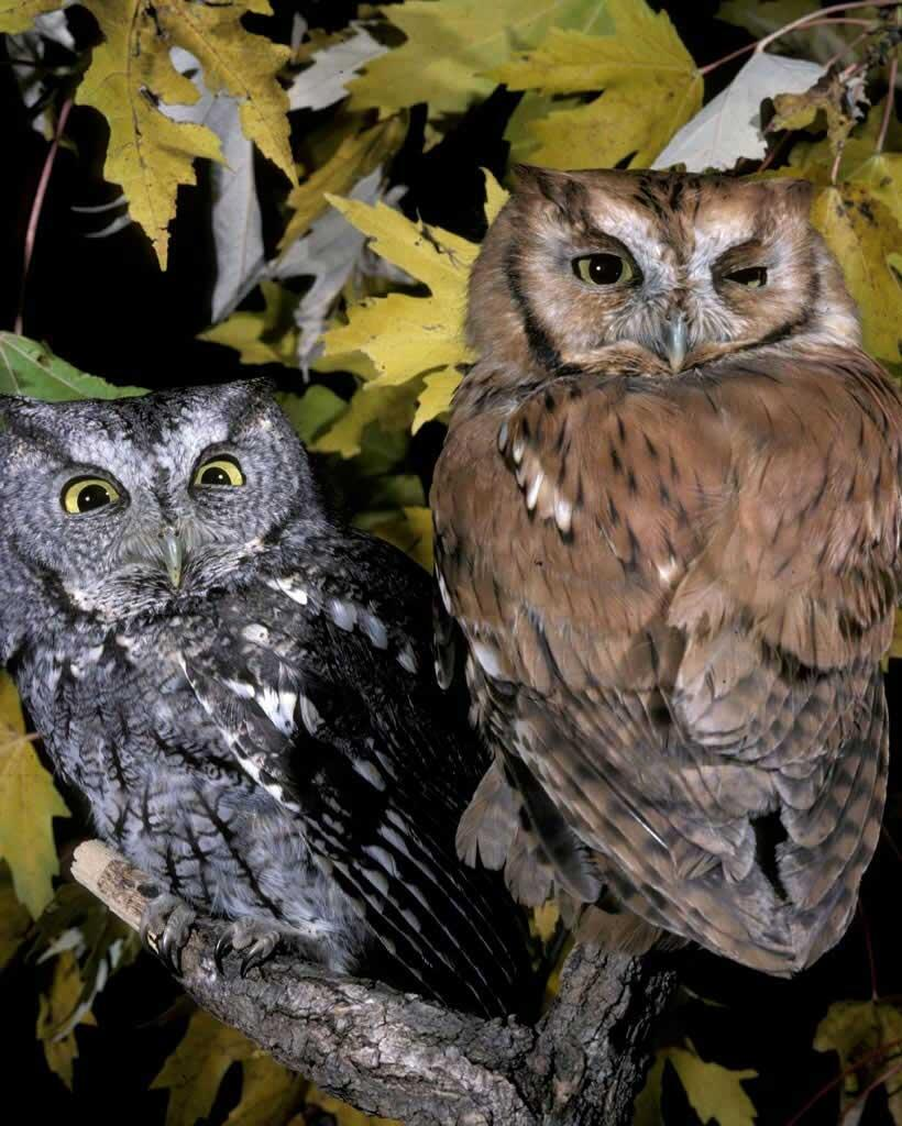 Eastern Screech-Owl | Audubon Field Guide