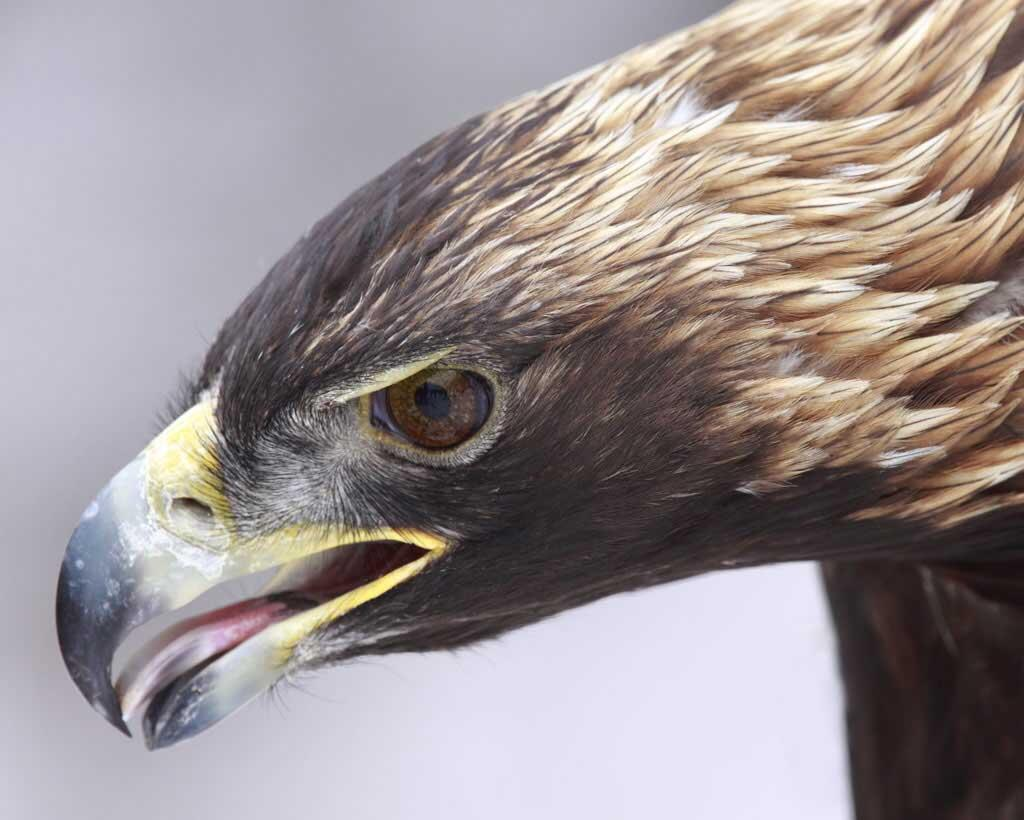 Golden Eagle | Audubon Field Guide