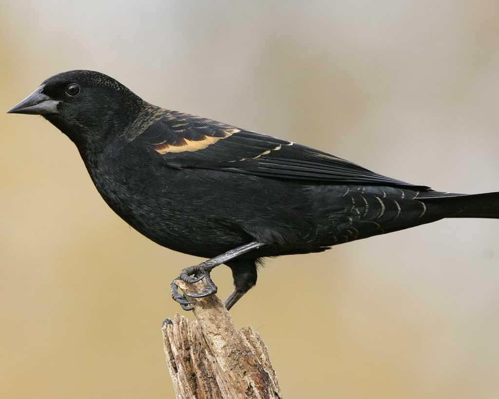 Red-winged Blackbird | Audubon Field Guide