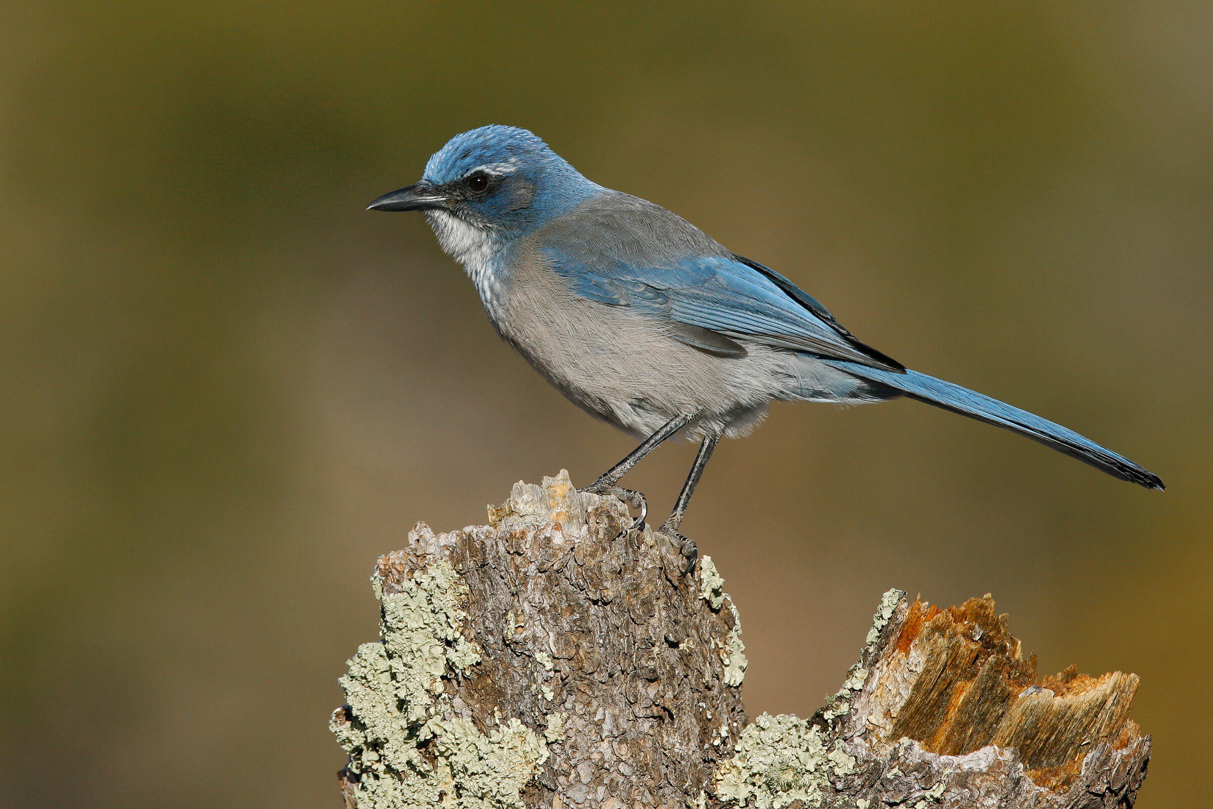 3be38eccad1 Woodhouse's Scrub-Jay | Audubon Field Guide