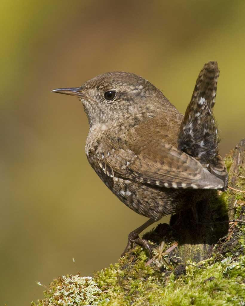 Winter Wren | Audubon Field Guide