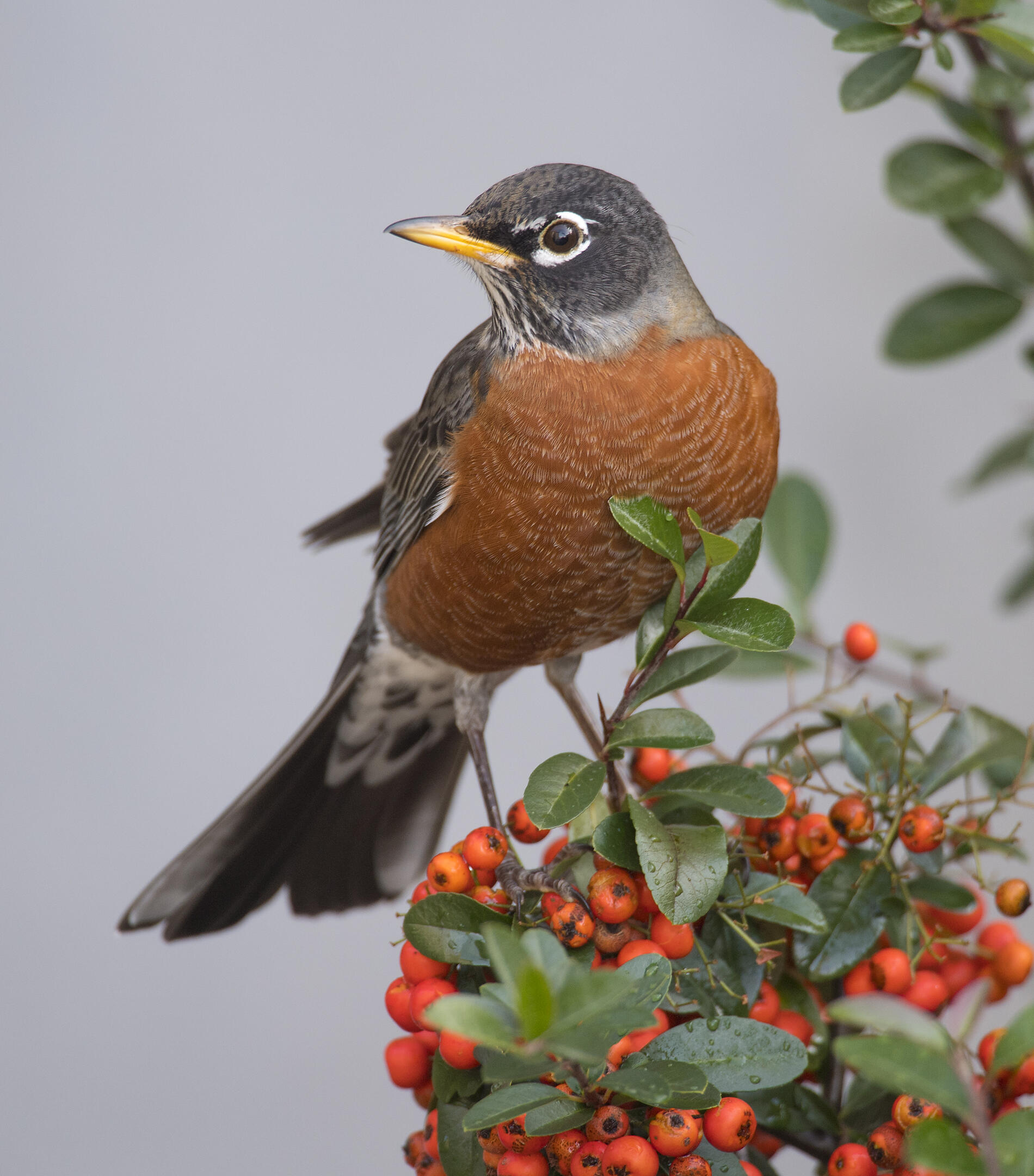 Food of and adult robin