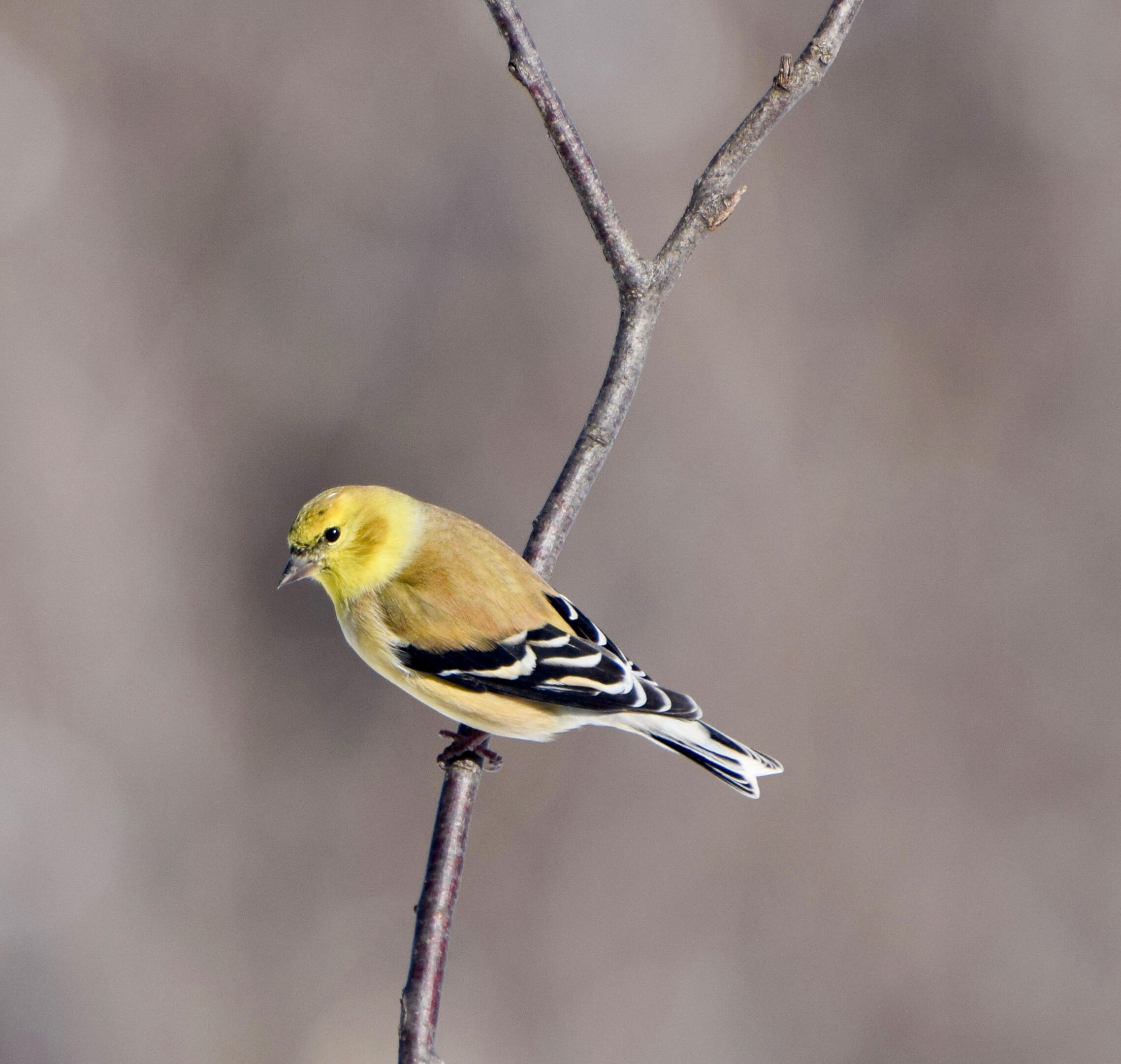 American Goldfinch   Audubon Field Guide on evening grosbeak, finches migration, mourning dove, cardinal migration, northern mockingbird, blue jay, common redpoll, house finch, pine grosbeak, black-capped chickadee, northern flicker, american robin, house sparrow, northern cardinal, indigo bunting, gold finch migration, european goldfinch, purple finch, pine siskin, purple finch migration, house finch migration, yellow canary migration, tufted titmouse, lesser goldfinch, red-winged blackbird,