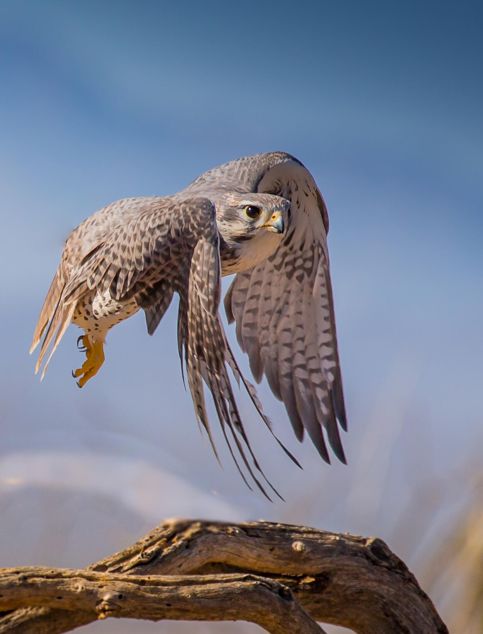 Lanner Falcon Portrait | Birds | Wildlife | Photography By
