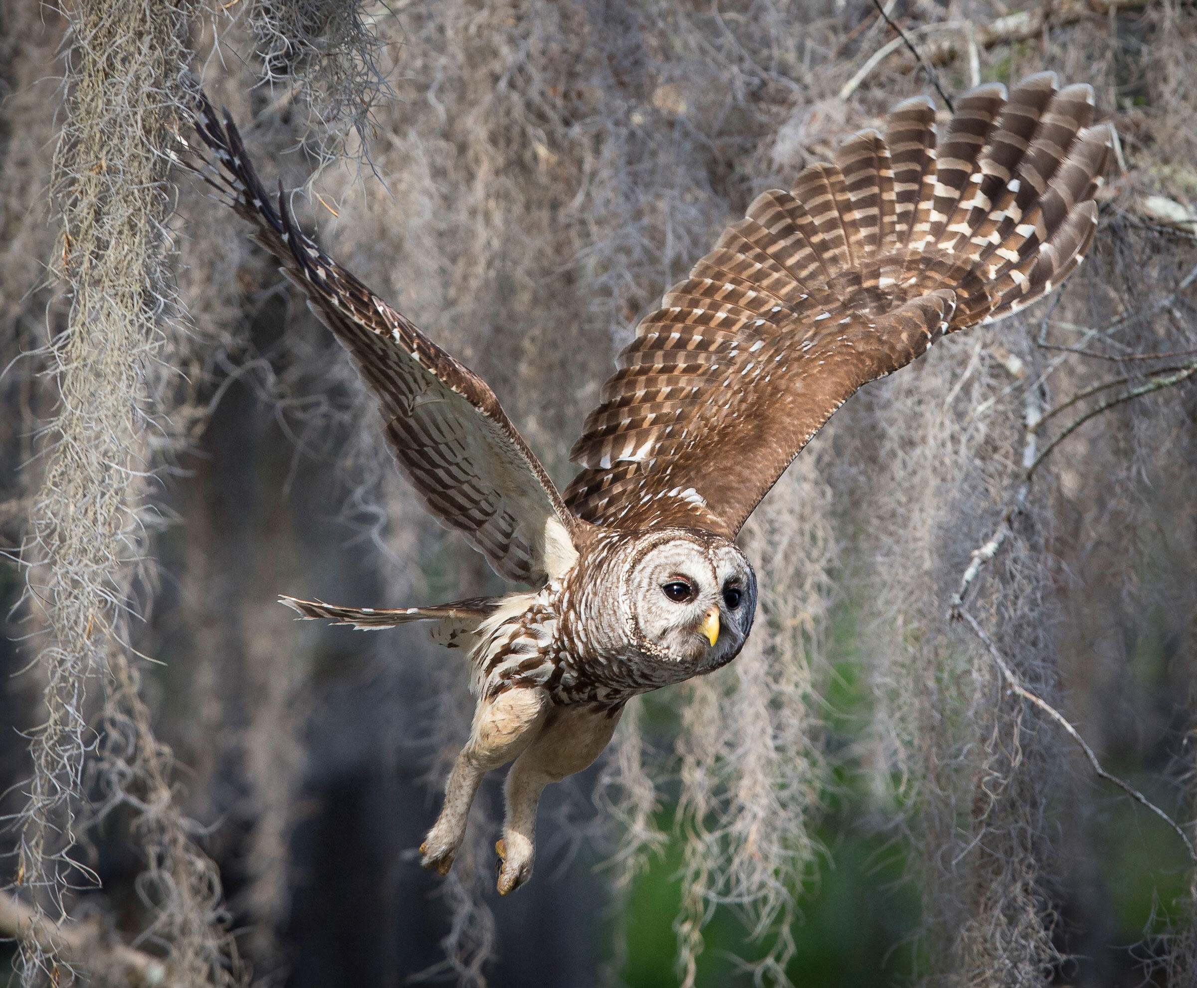 barred owl caterwauling