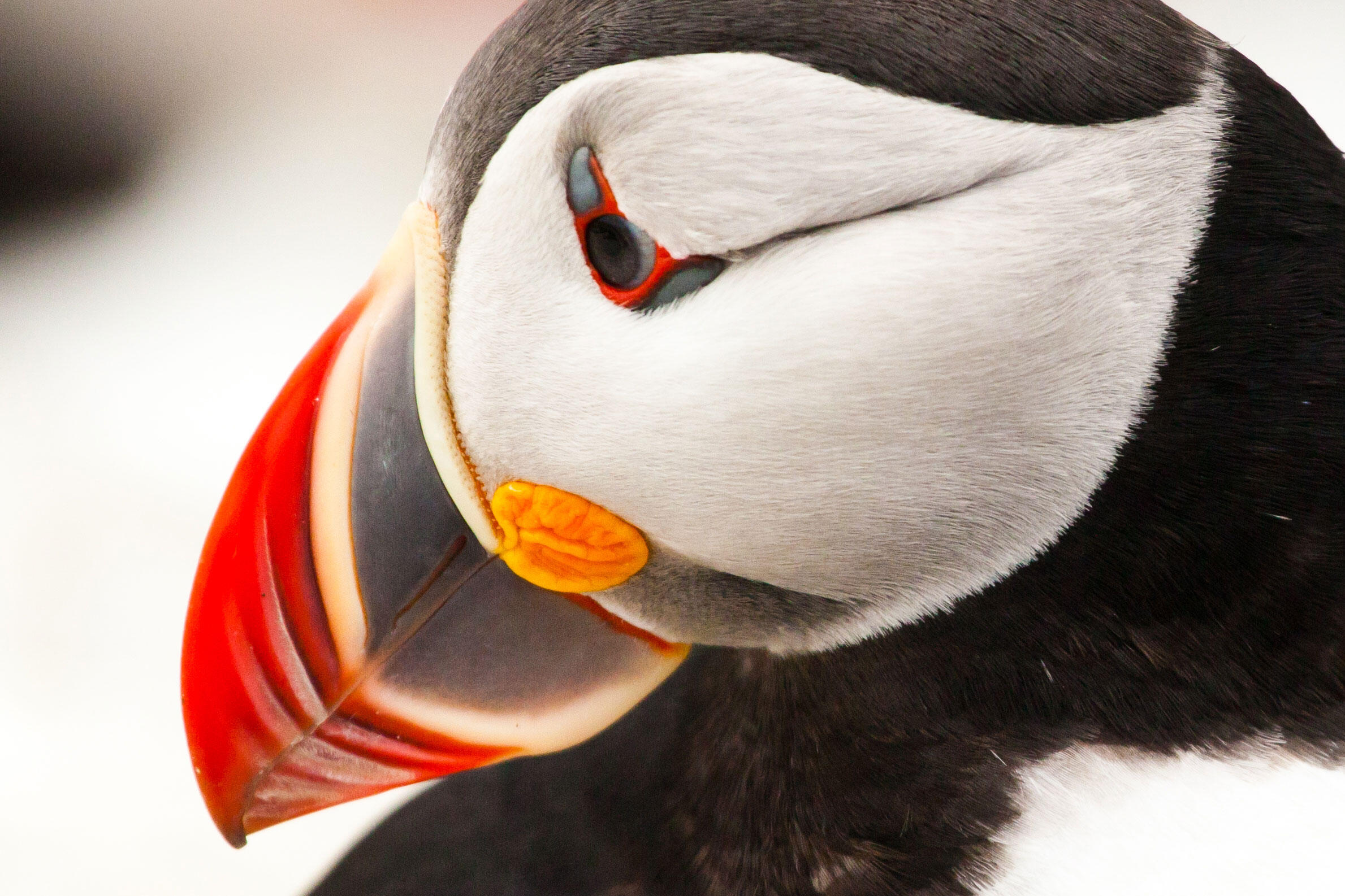Atlantic Puffin | Audubon Field Guide