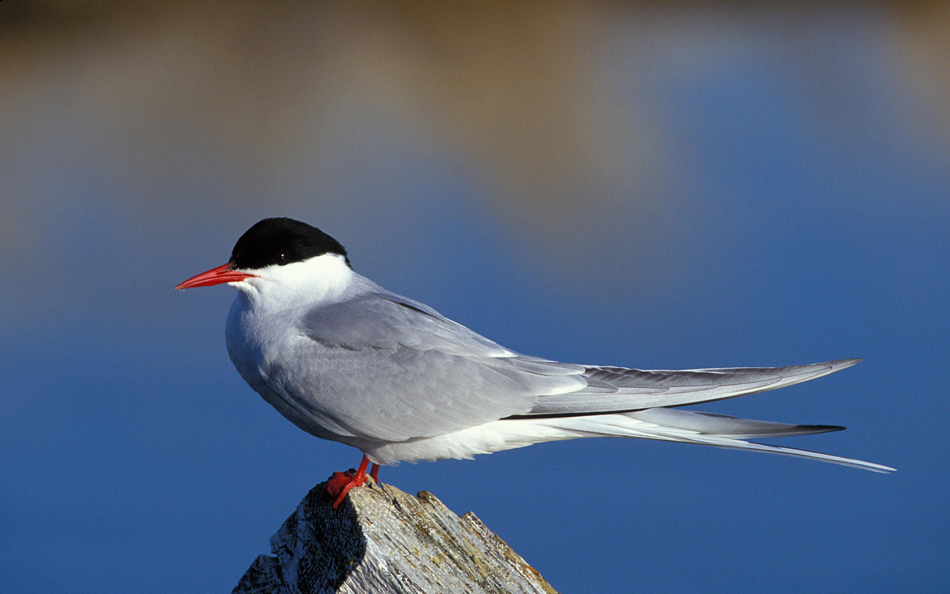 seabird and arctic terns An arctic tern soars over iceland these small birds have one of the longest annual migrations of any animal on earth every year, arctic terns migrate from the arctic circle to the antarctic circle—a round-trip journey of about 30,000 kilometers (18,641 miles.