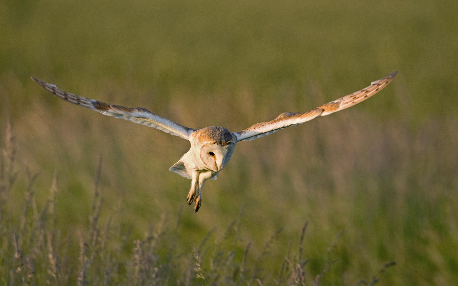 Barn Owl Audubon Field Guide