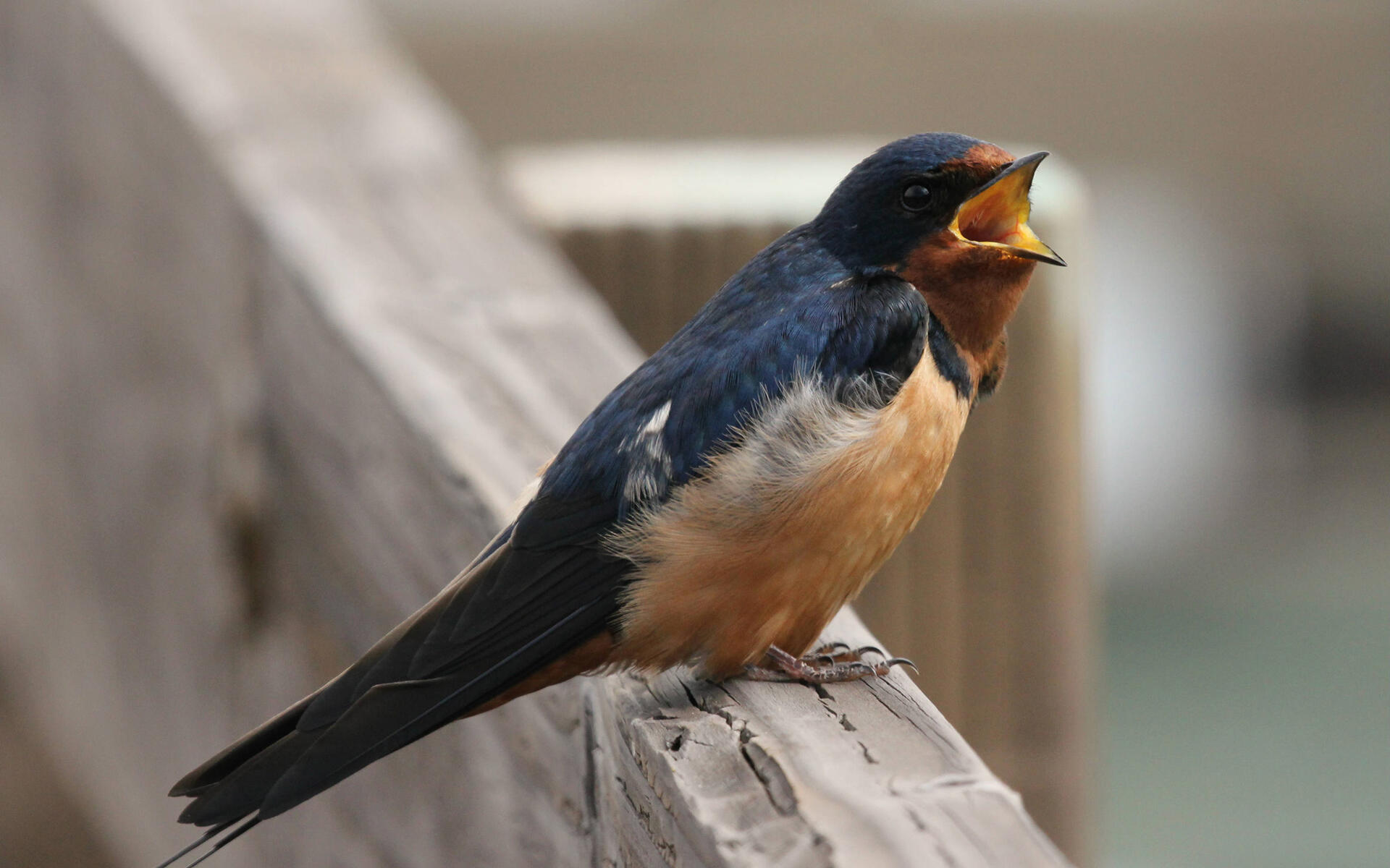 Green Home Building Barn Swallow Audubon Guide To North American Birds