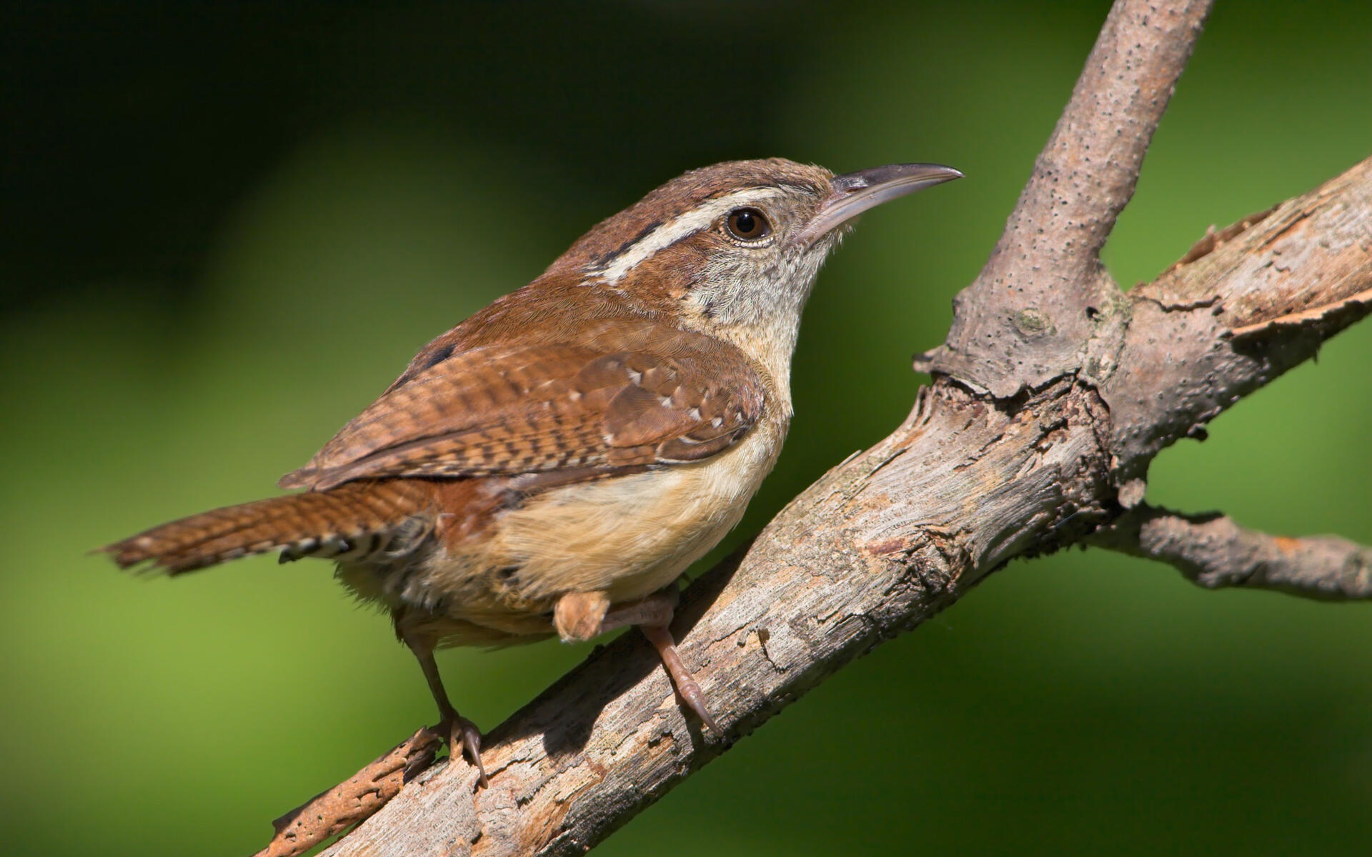 Image result for carolina wren