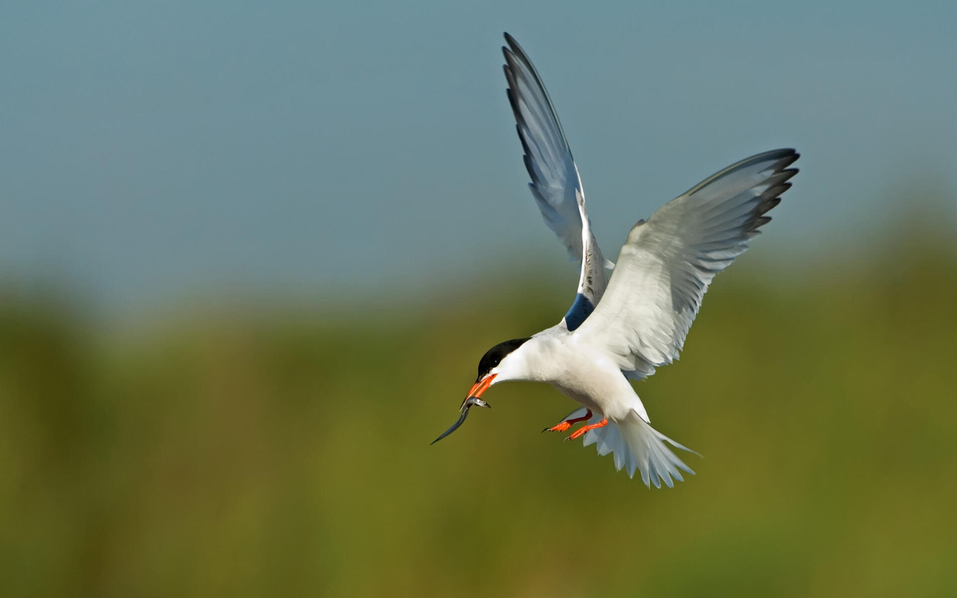Old For Communities >> Common Tern | Audubon Field Guide