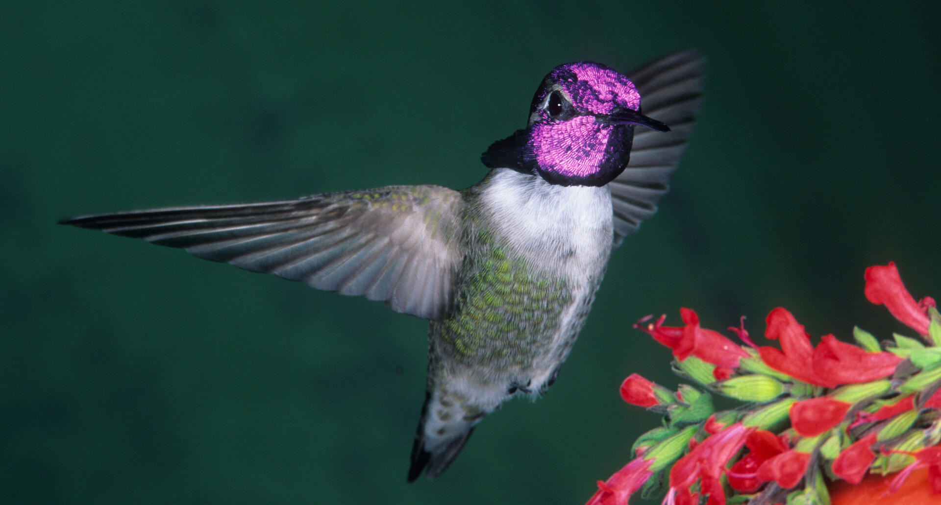 Costa Hummingbird Arizona