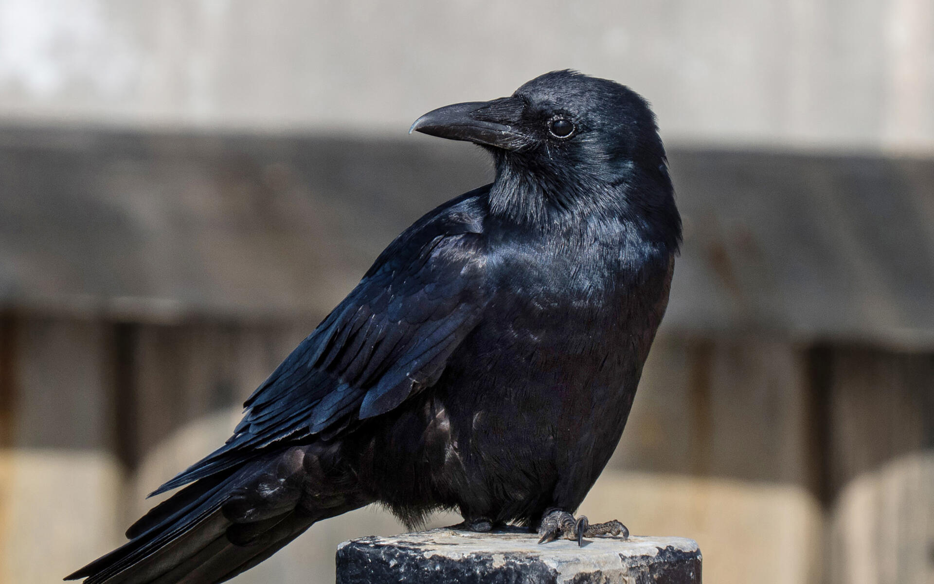 Fish Crow | Audubon Field Guide