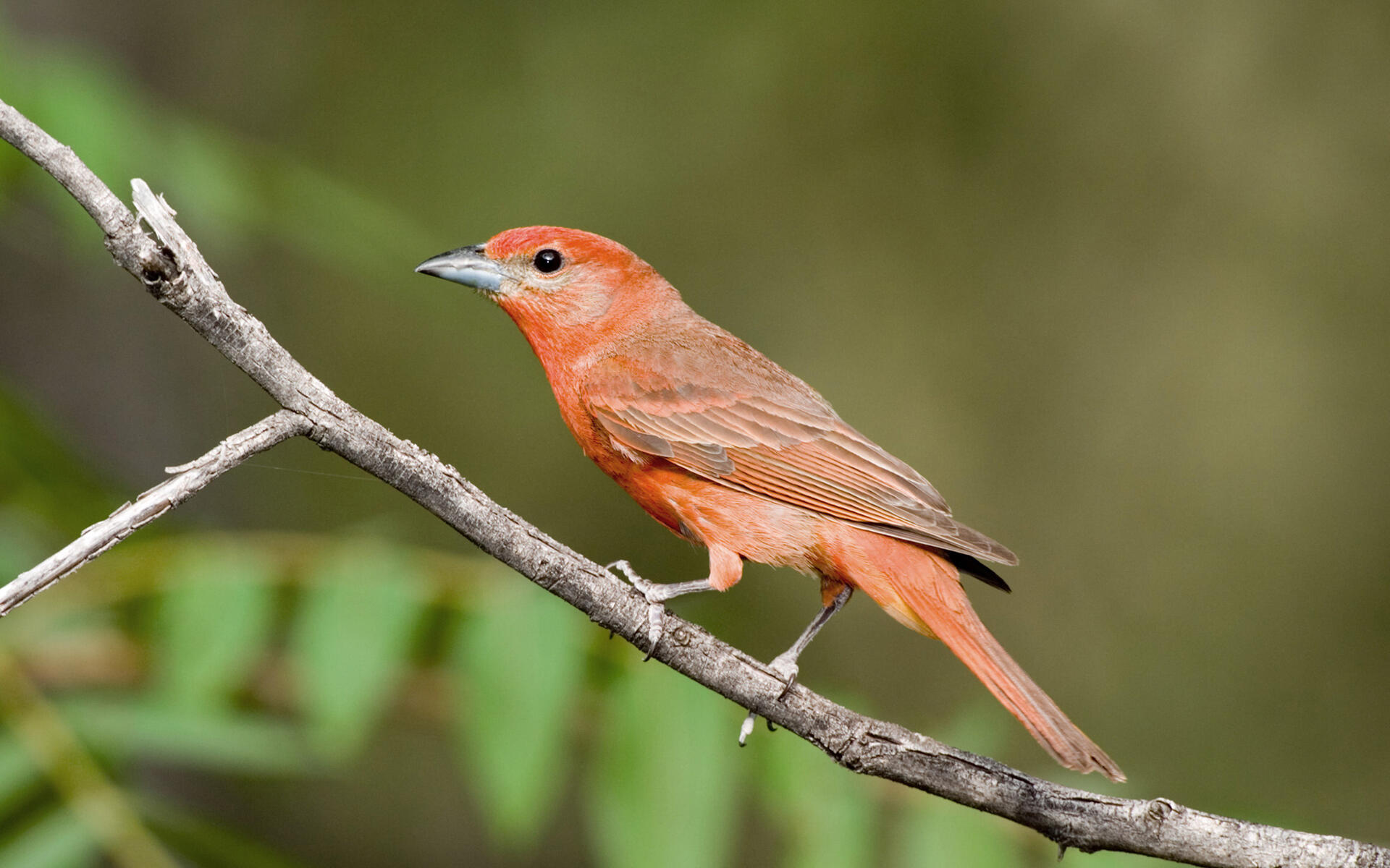 Hepatic Tanager Range Hepatic Tanager | Audubon