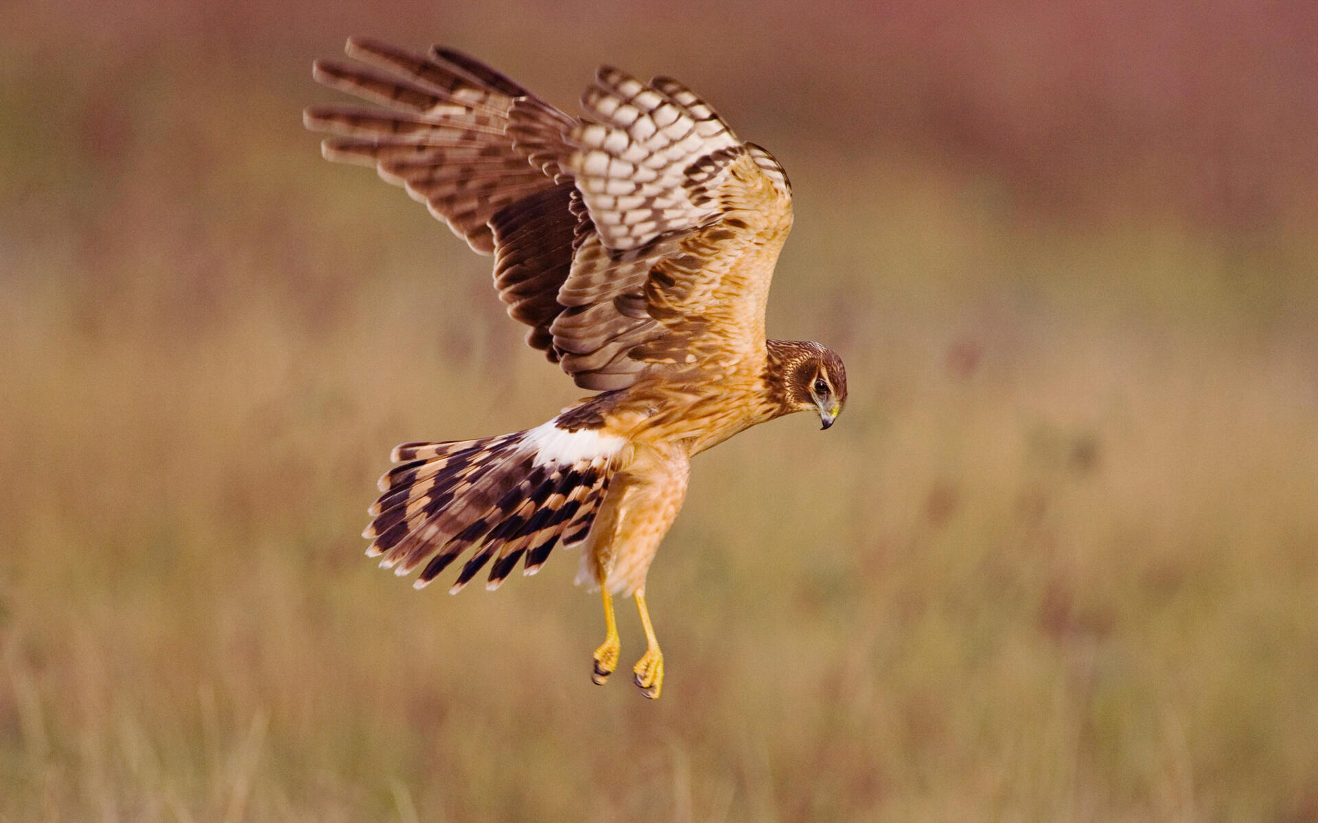 Hen Harrier, Northern Harrier (circus Cyaneus), Female Perched On ...