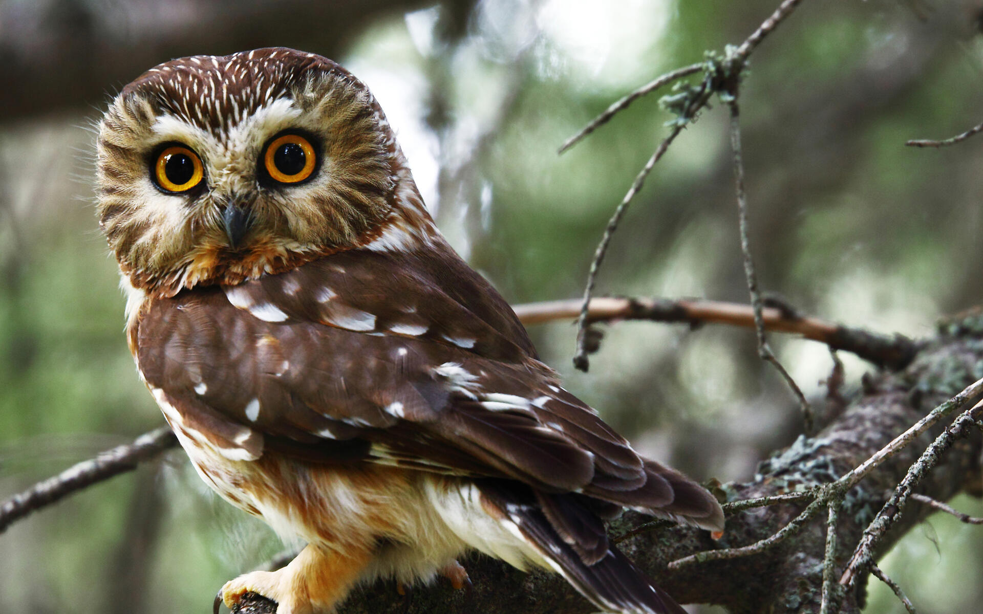 Northern Saw-whet Owl | Audubon Field Guide
