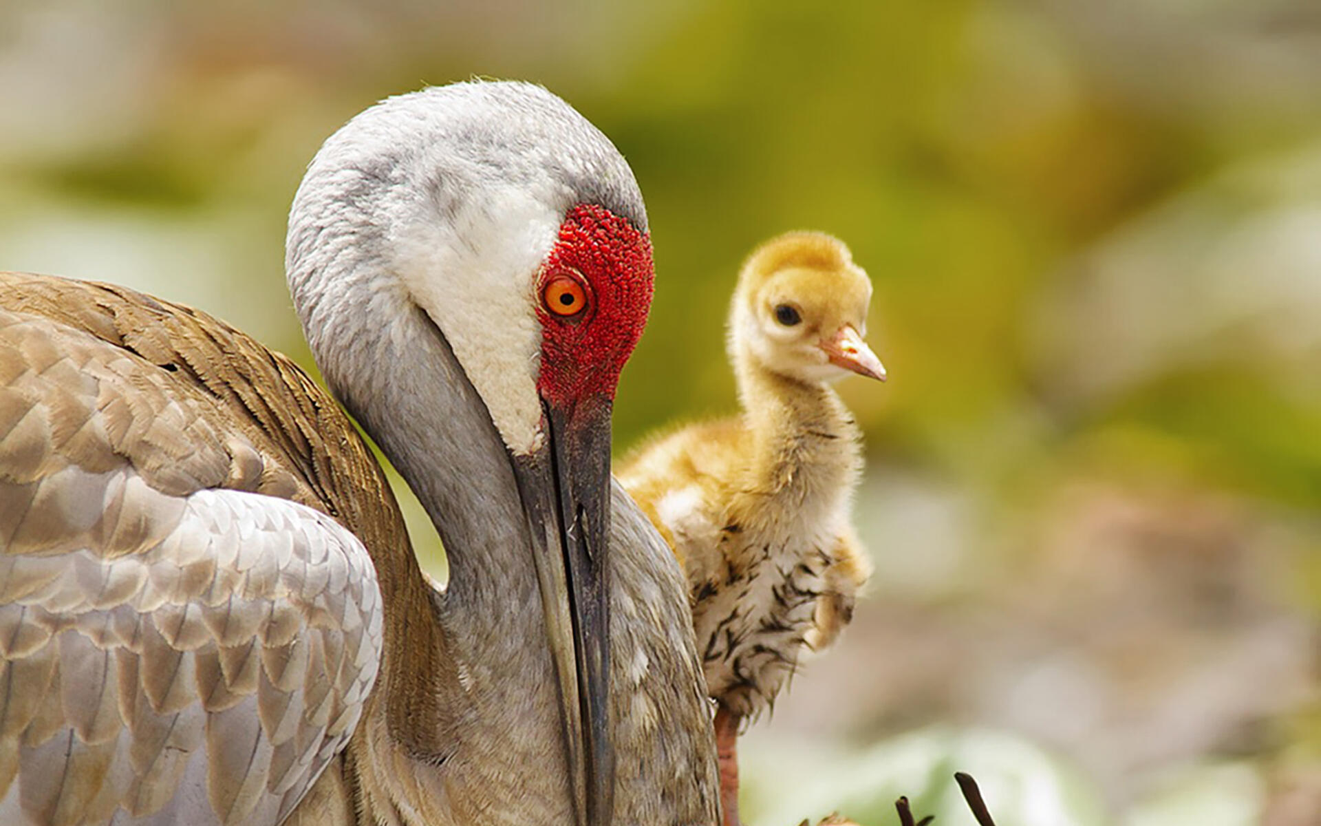 This Sandhill Crane Couple Adopted A Baby Goose Audubon >> Sandhill Crane Audubon Field Guide