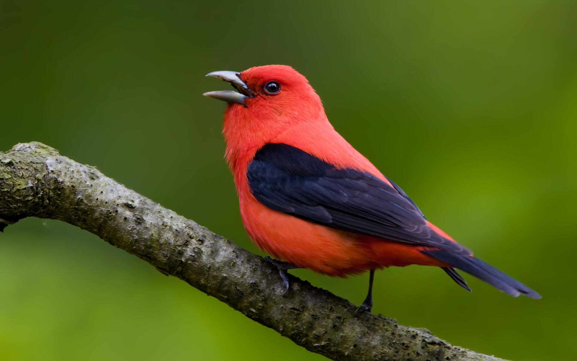 Scarlet Tanager Audubon Field Guide