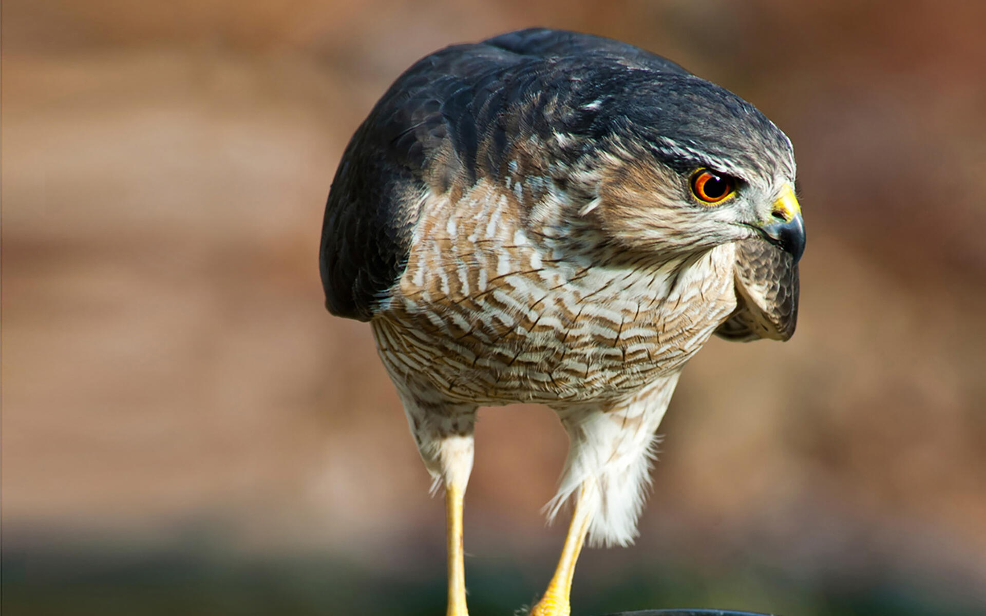 Sharp Shinned Hawk Facts, Habitat, Diet, Call, Images