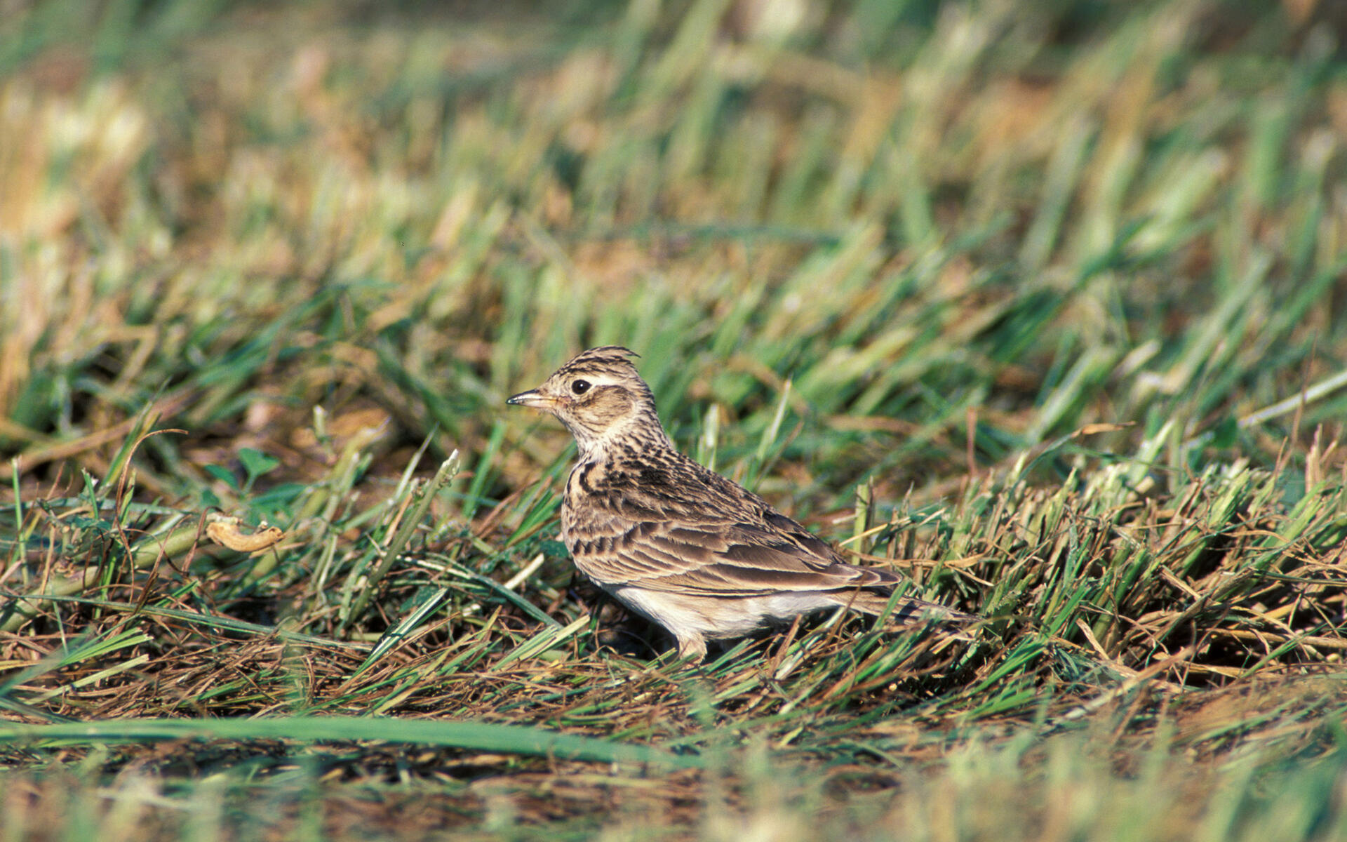 sky lark Edit this page read in another language eurasian skylark (redirected from sky lark.