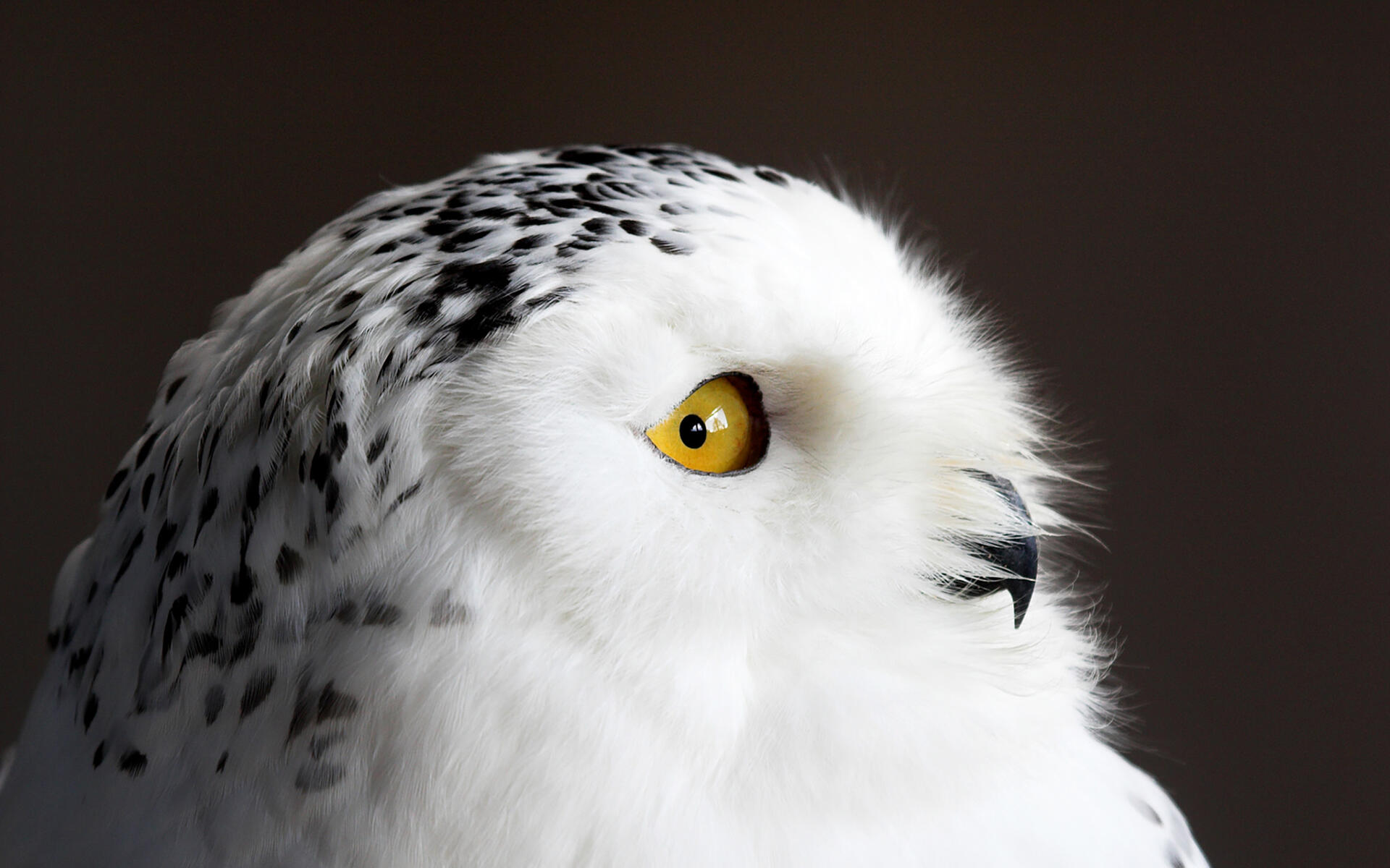 Snowy Owl, Identification, All About Birds - Cornell Lab of ...