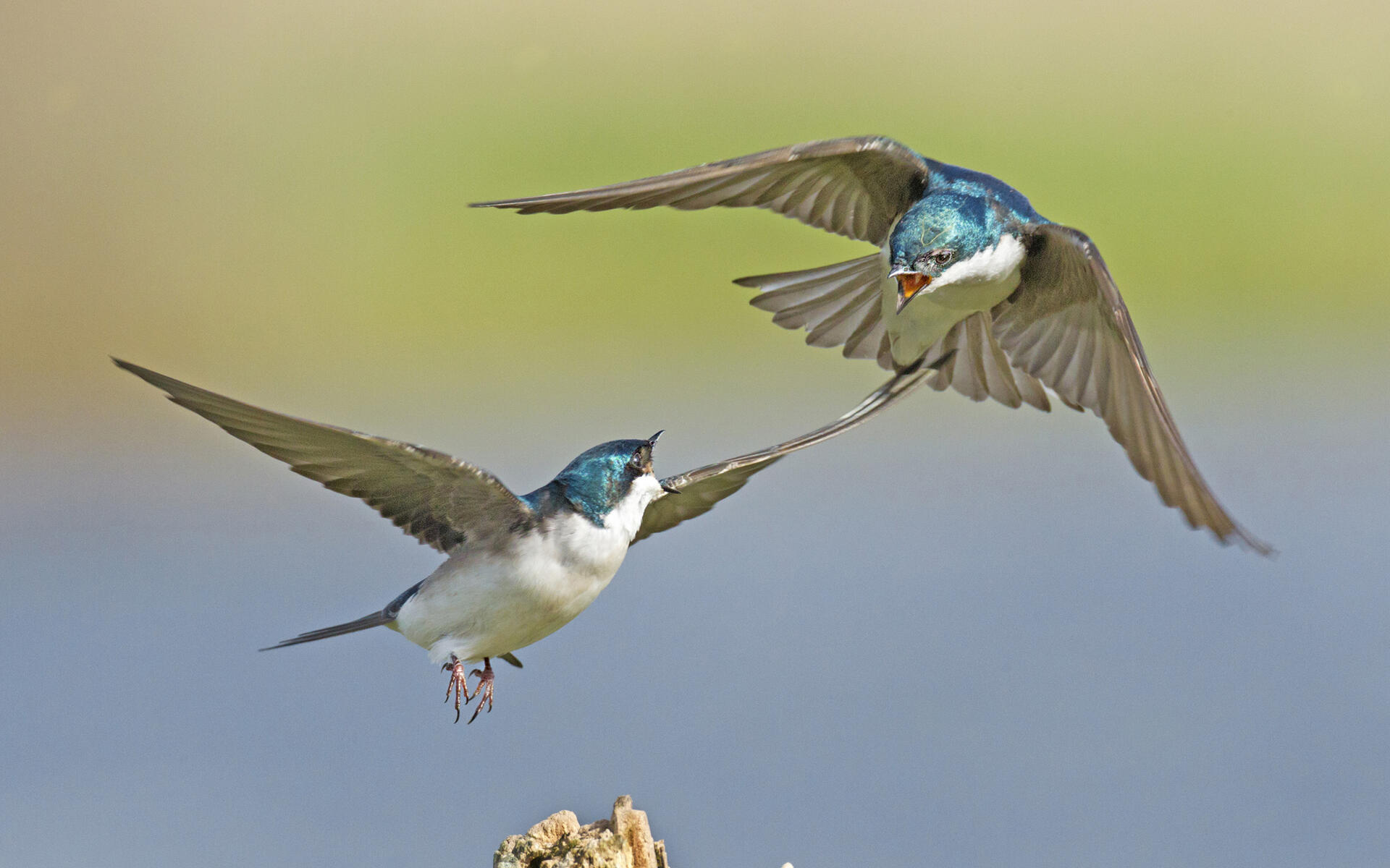 Image result for pictures of tree swallows