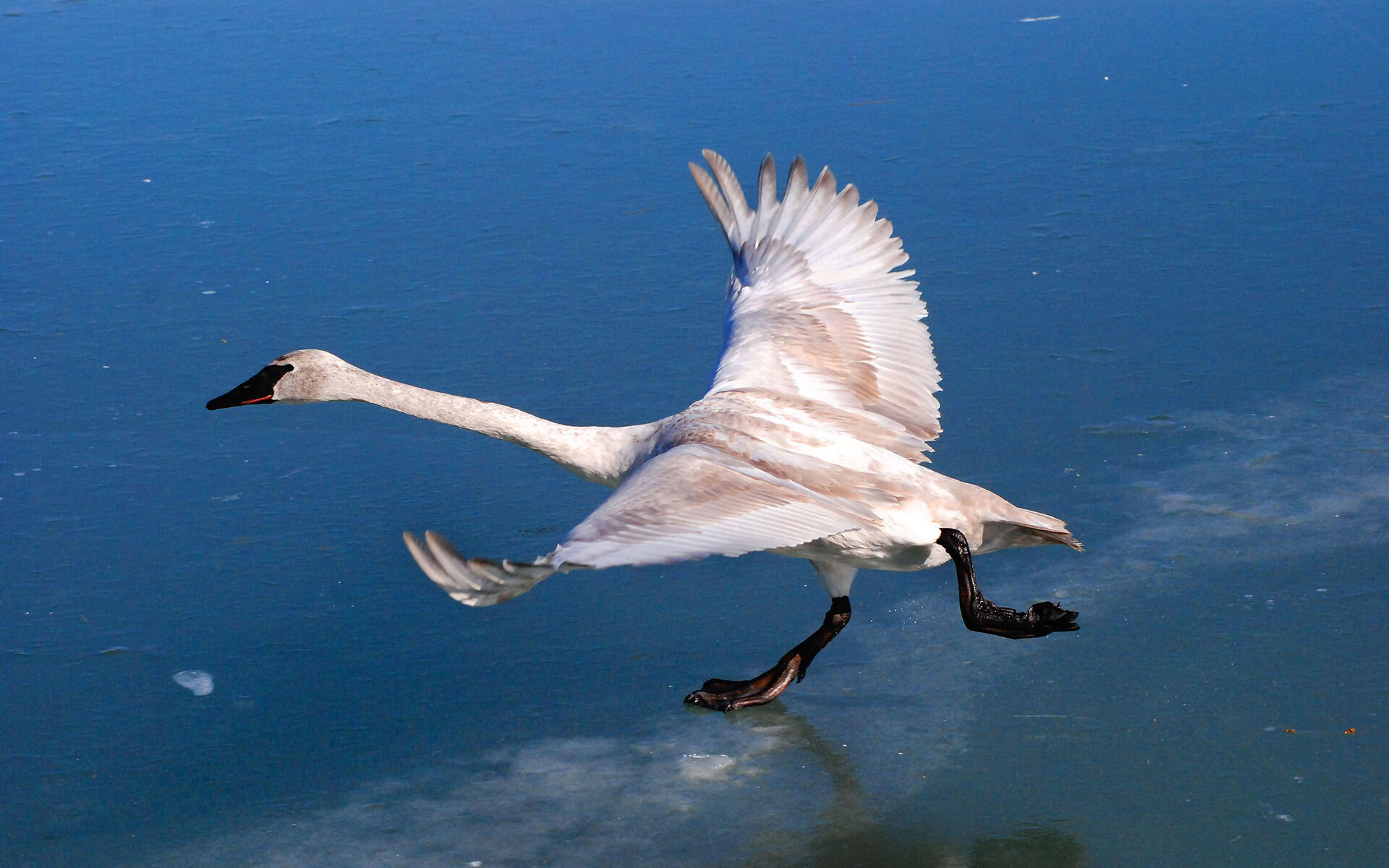 Swans Have Come Back >> Trumpeter Swan Audubon Field Guide