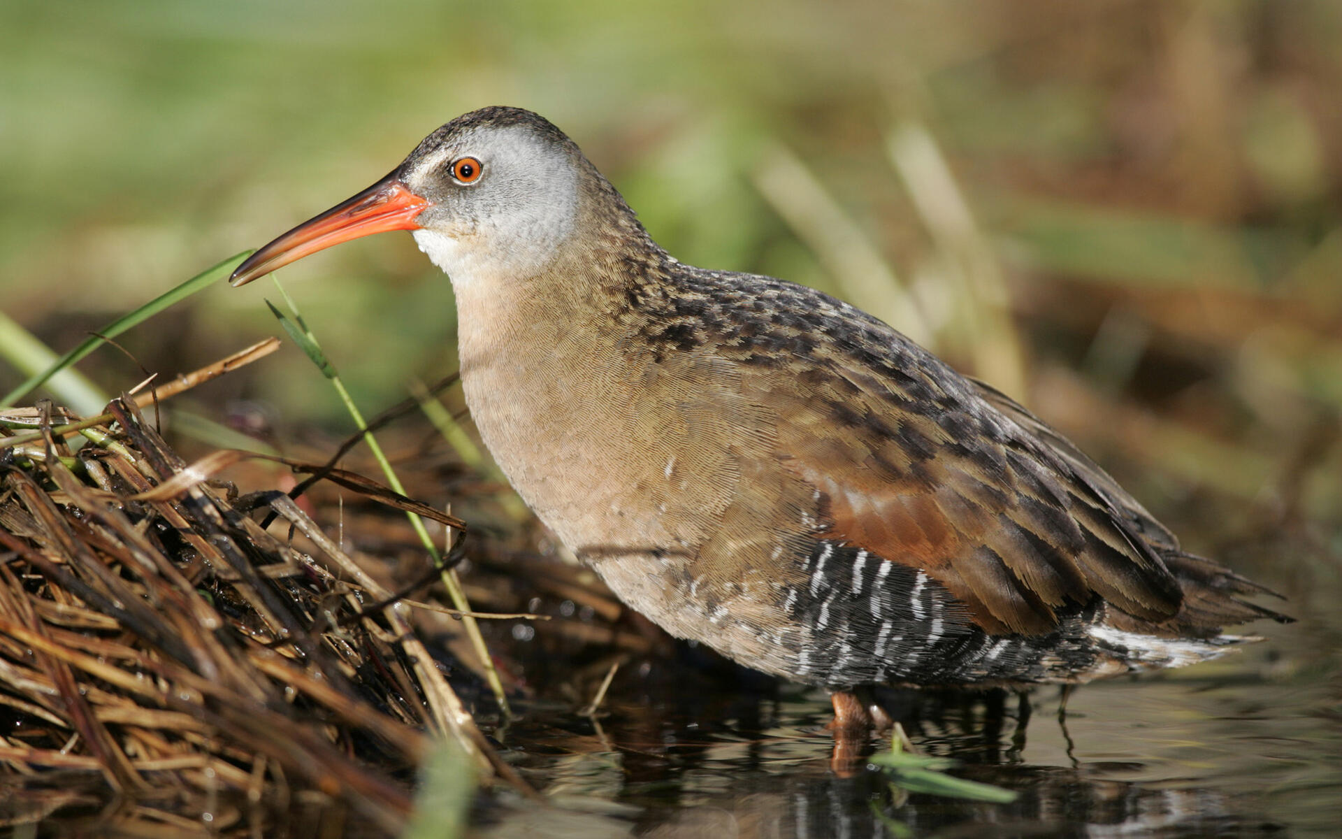 King Rail, Identification, All About Birds - Cornell Lab of ...