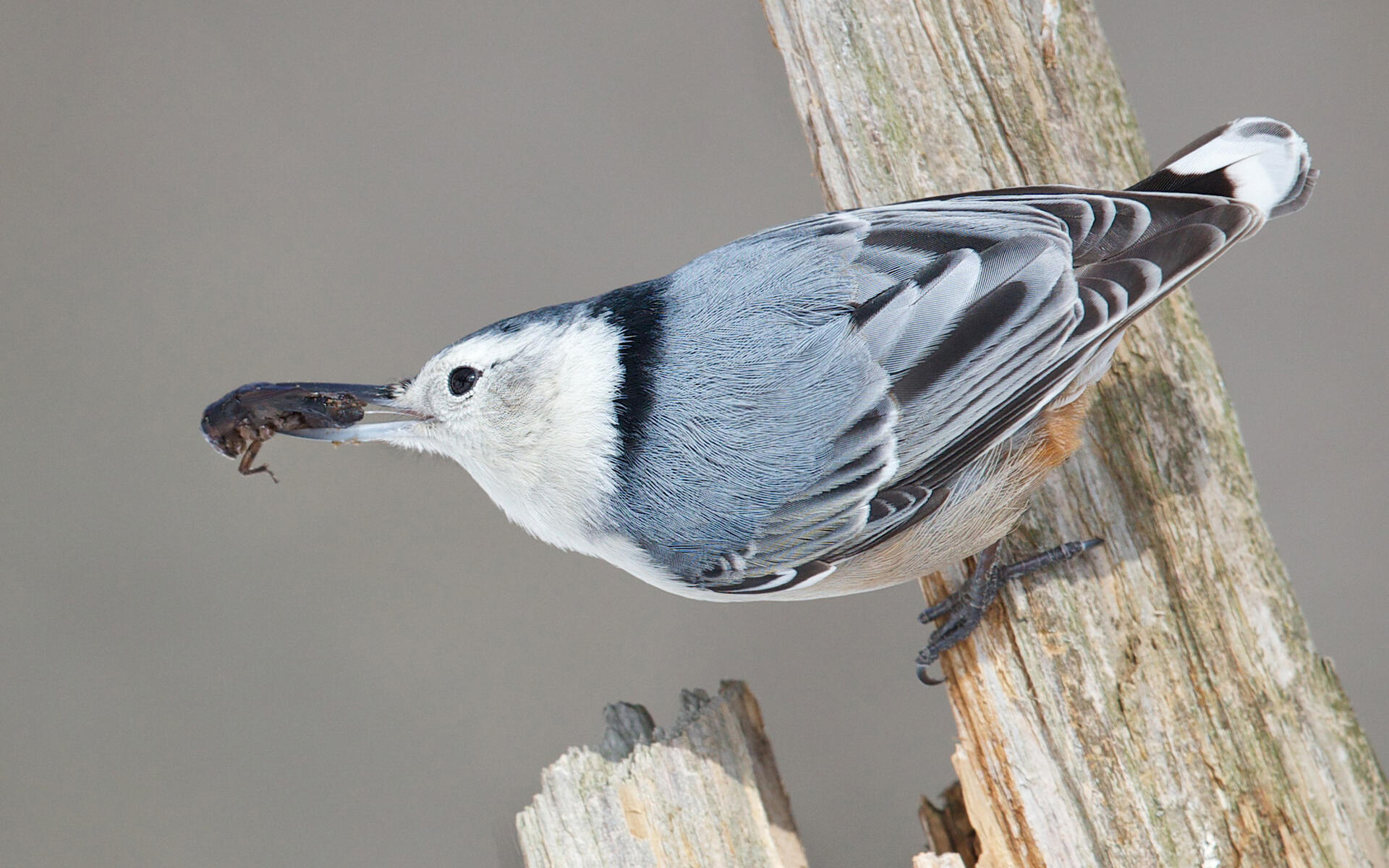 white breasted nuthatch audubon field guide. Black Bedroom Furniture Sets. Home Design Ideas