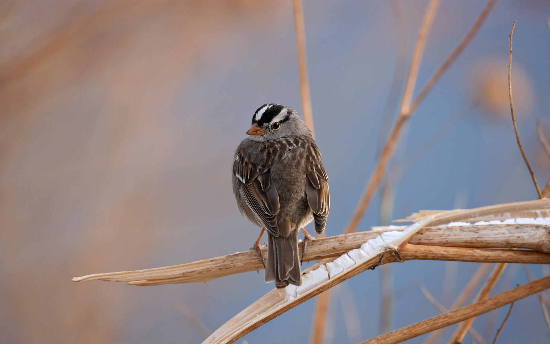 White-crowned Sparrow | Audubon Field Guide