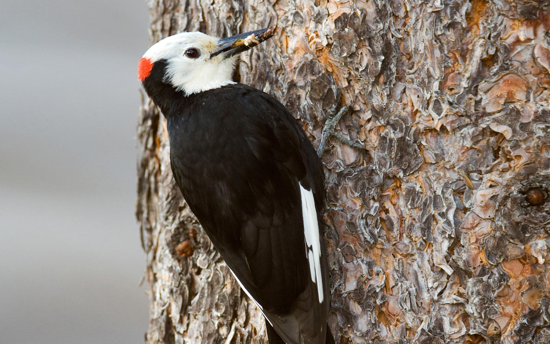 Image result for white headed woodpecker