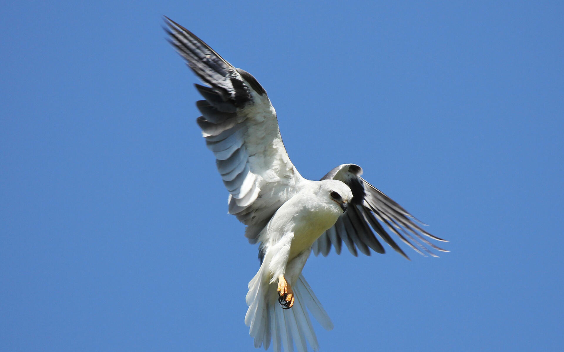 Image result for kites (bird) photo