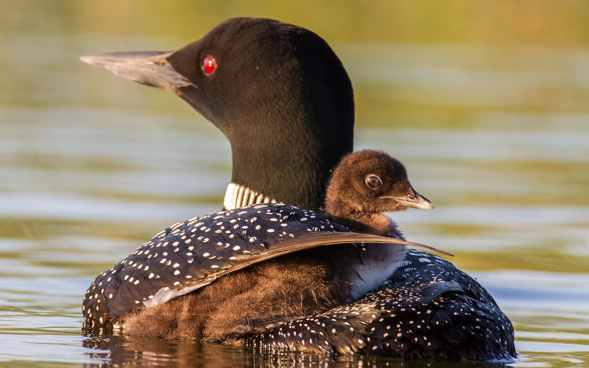 Image result for loons
