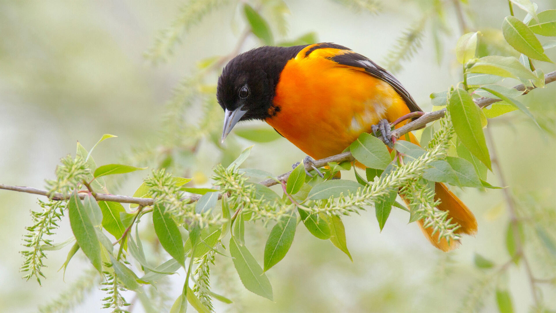 Baltimore Oriole | Audubon Field Guide
