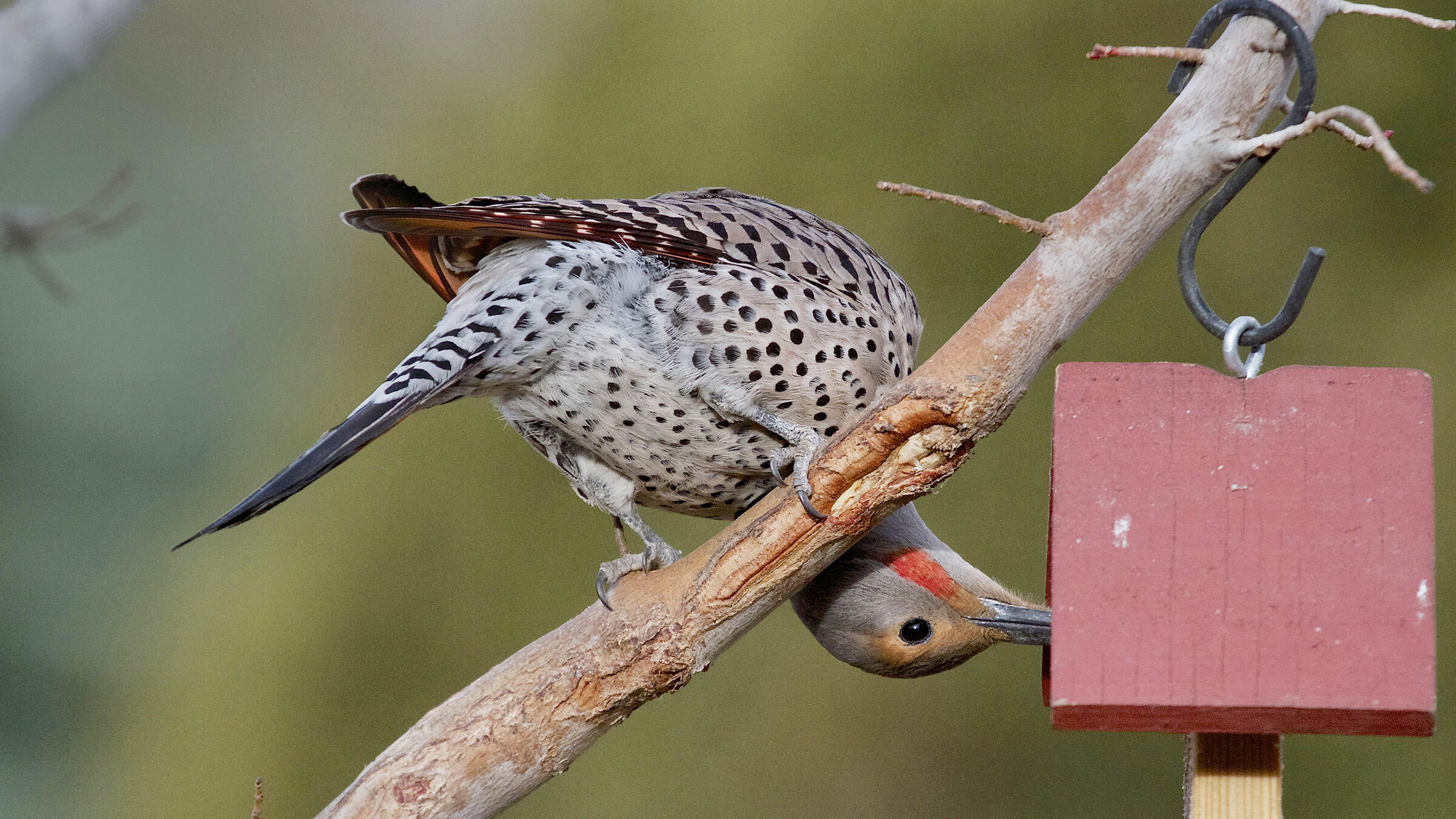 Alan Gubanich_Great Backyard Bird Count Participant_Northern_Flicker