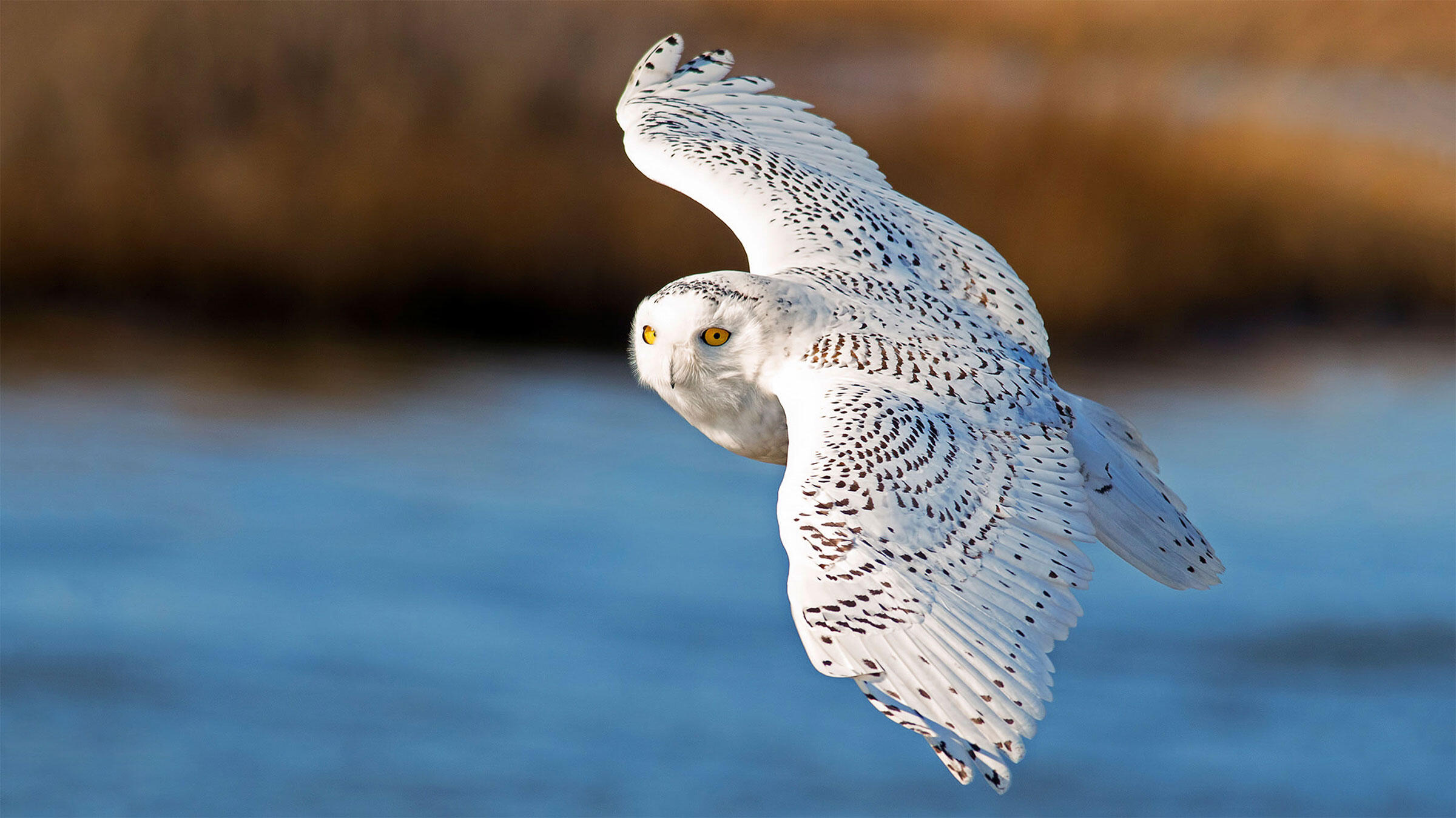 Hold Onto Your Bins: Another Blizzard of Snowy Owls Could Be